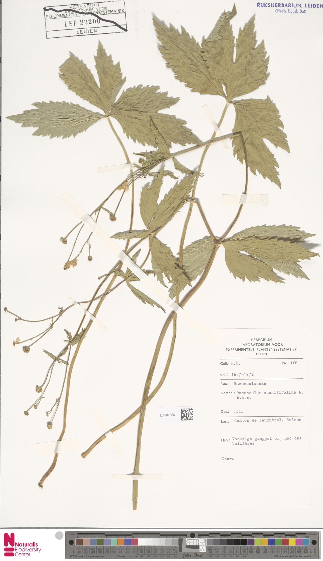 L.4200886 | Ranunculus aconitifolius L.