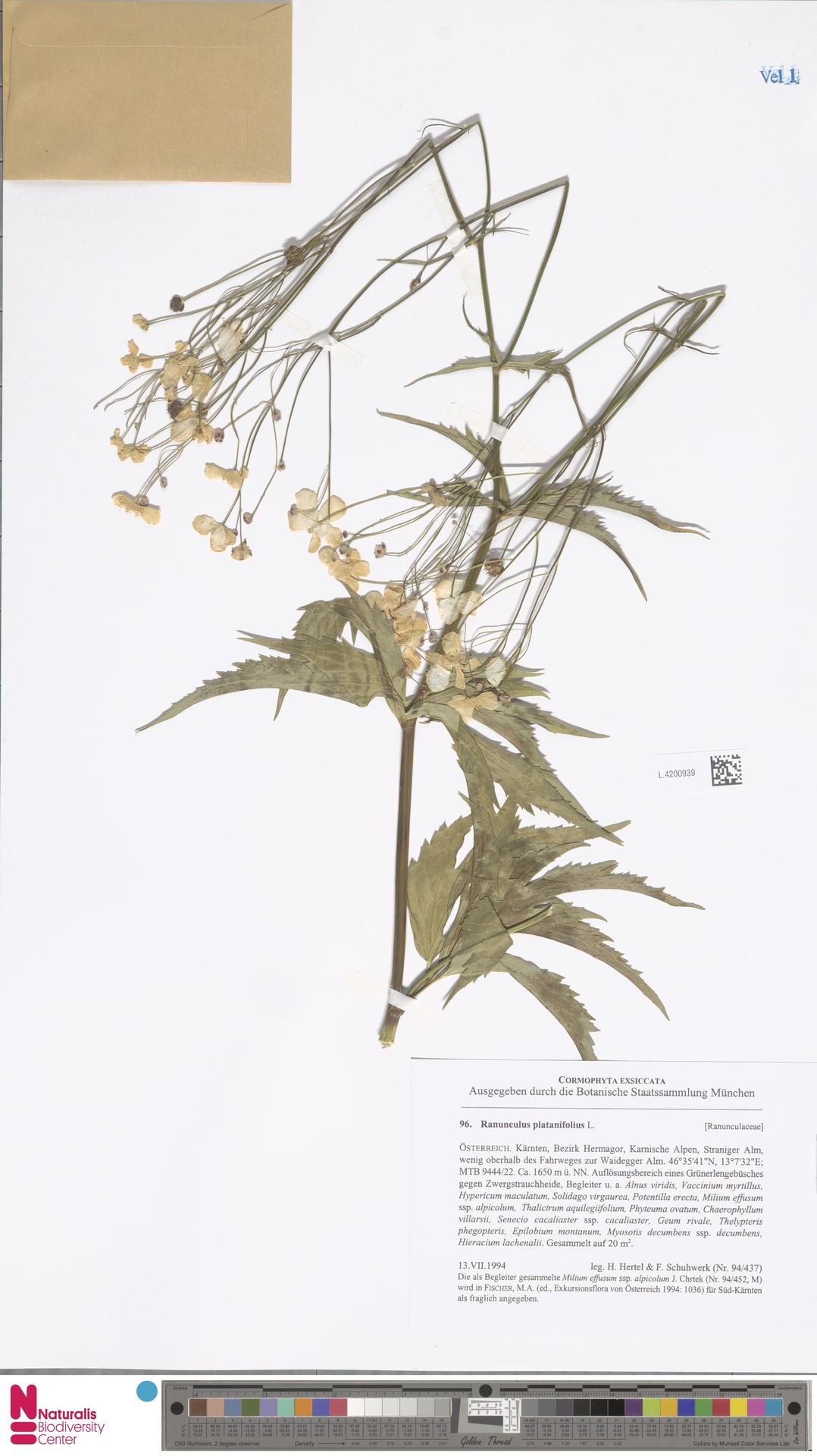 L.4200939 | Ranunculus platanifolius L.