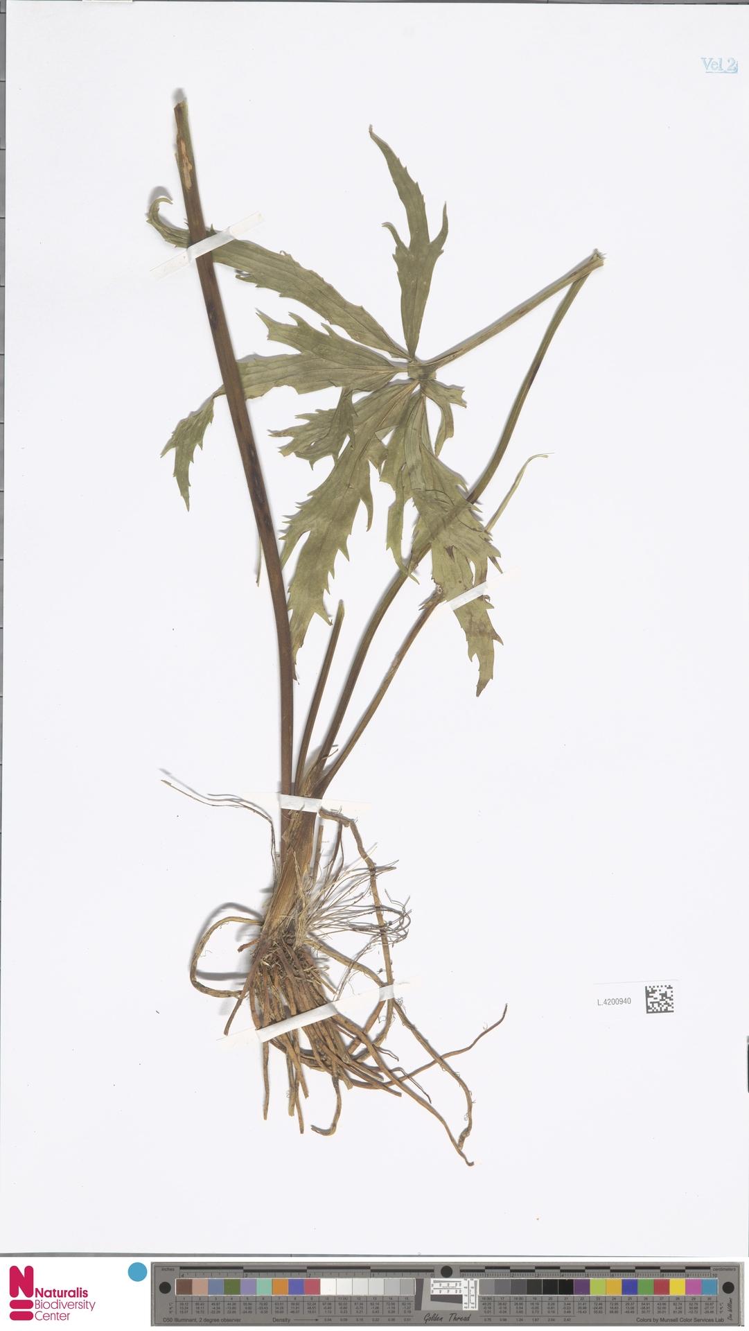 L.4200940   Ranunculus platanifolius L.