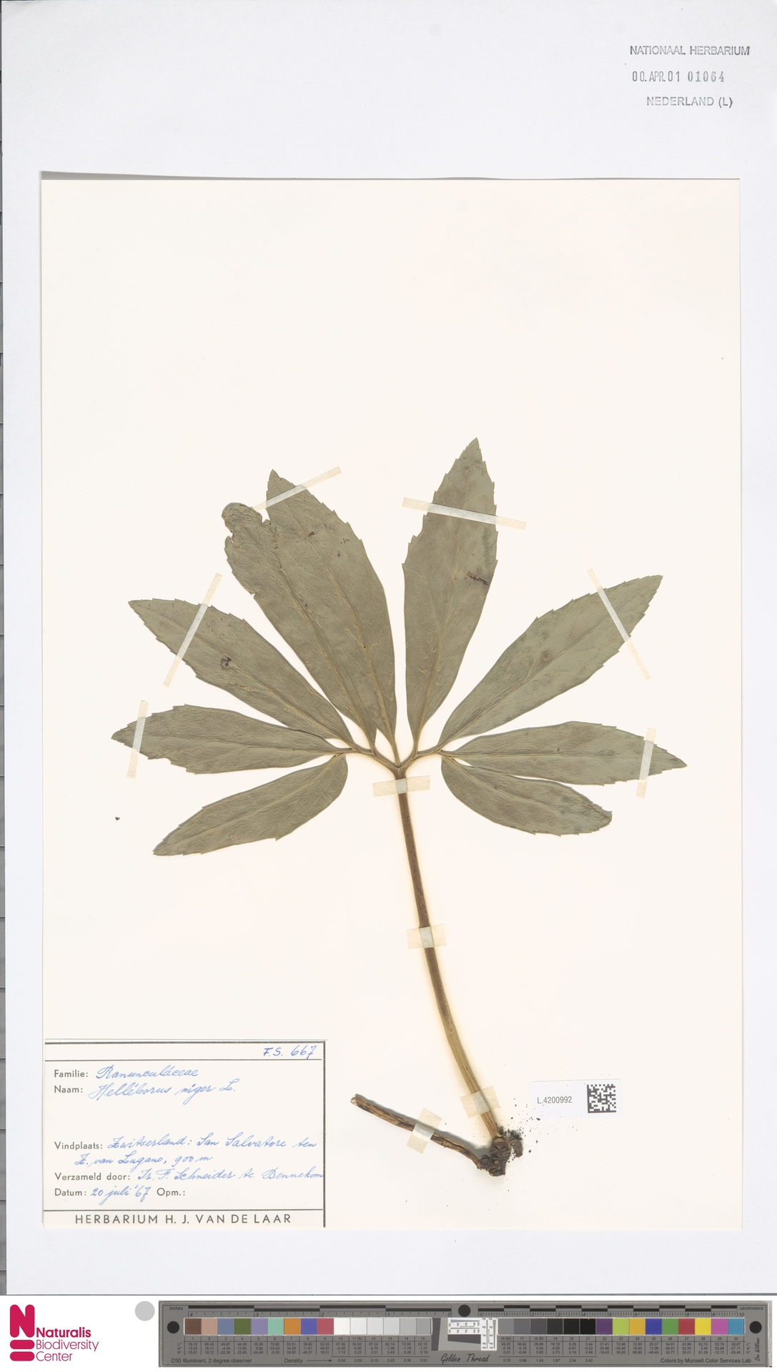 L.4200992 | Helleborus niger L.