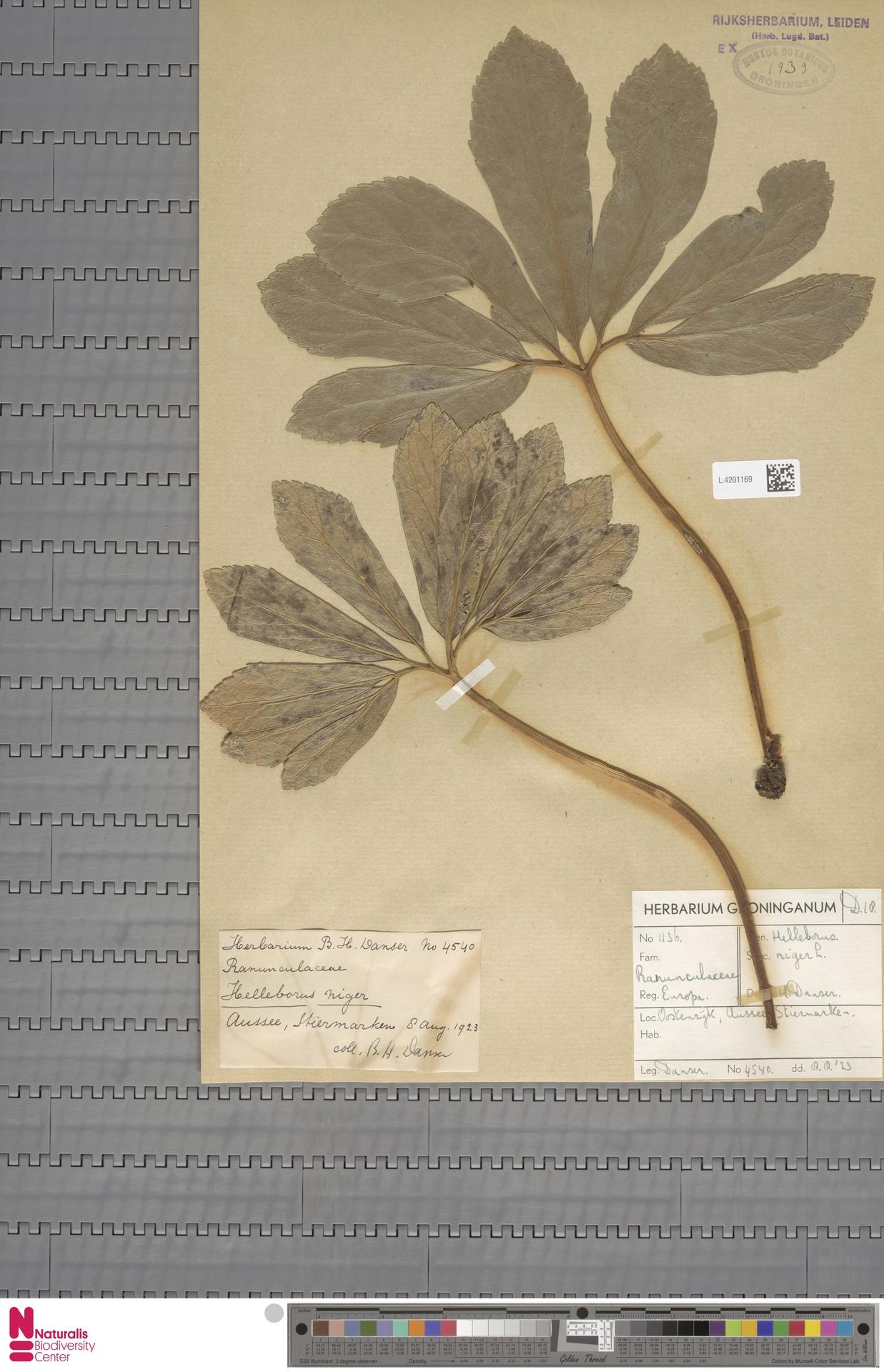 L.4201169 | Helleborus niger L.