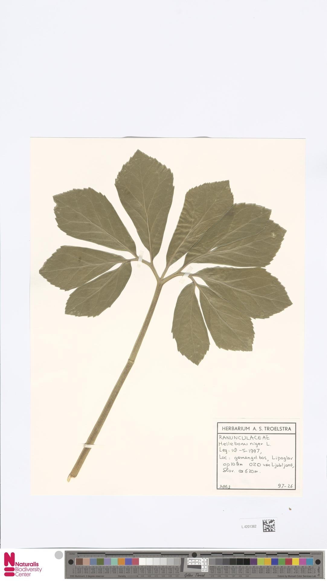 L.4201362 | Helleborus niger L.