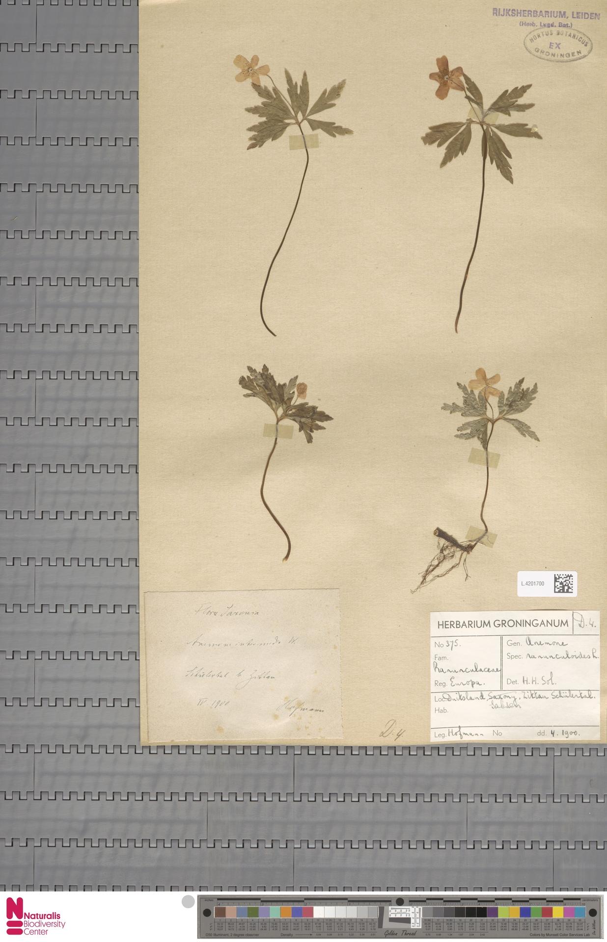 L.4201700 | Anemone ranunculoides L.