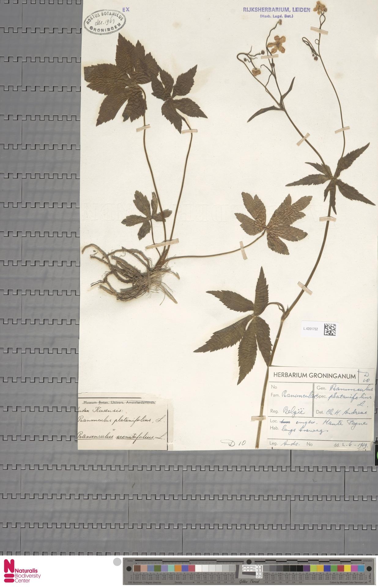 L.4201752   Ranunculus platanifolius L.