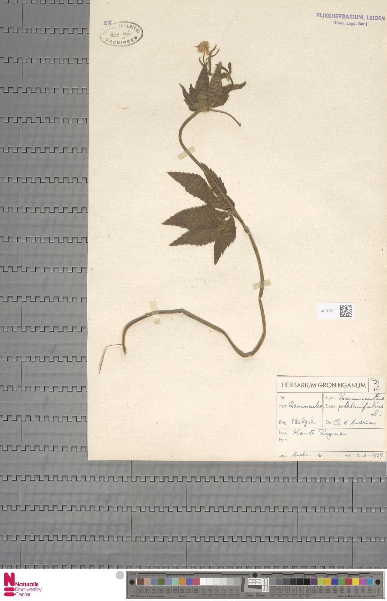 L.4201753   Ranunculus platanifolius L.