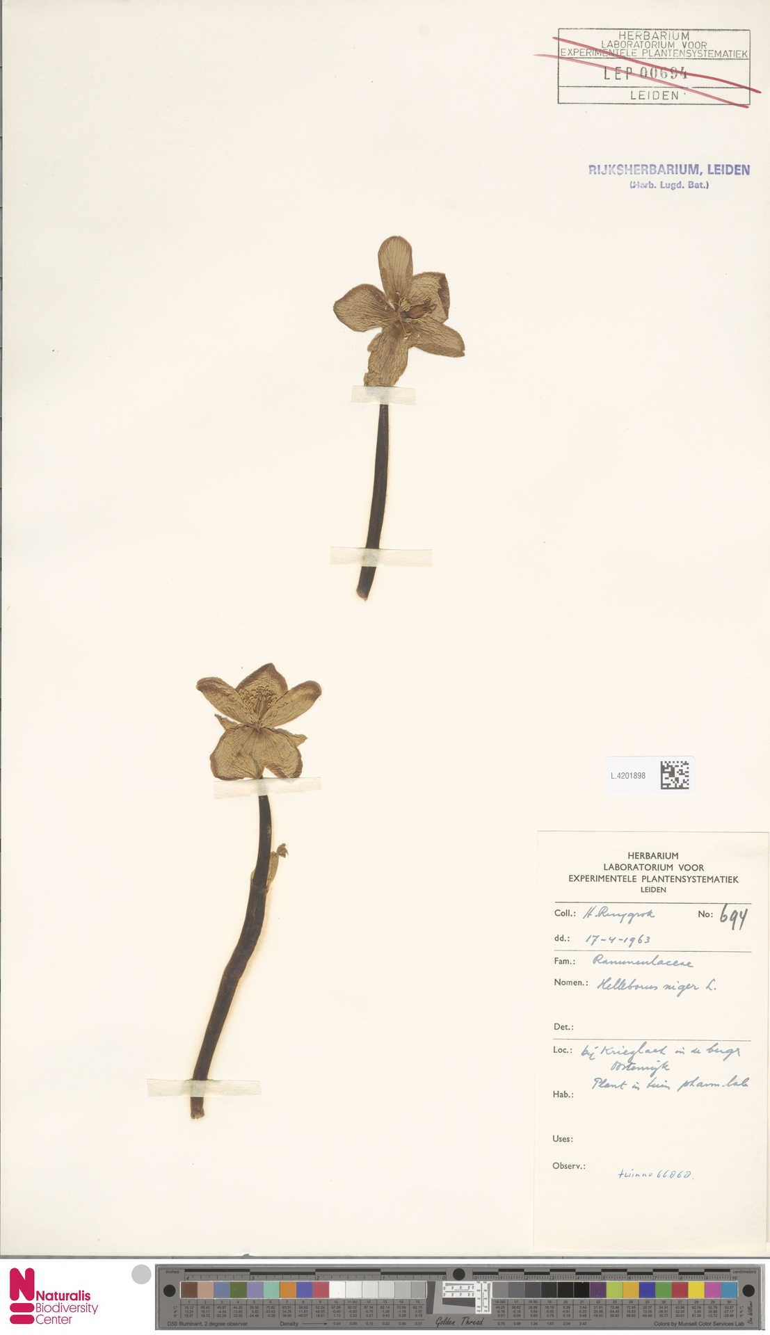 L.4201898 | Helleborus niger L.