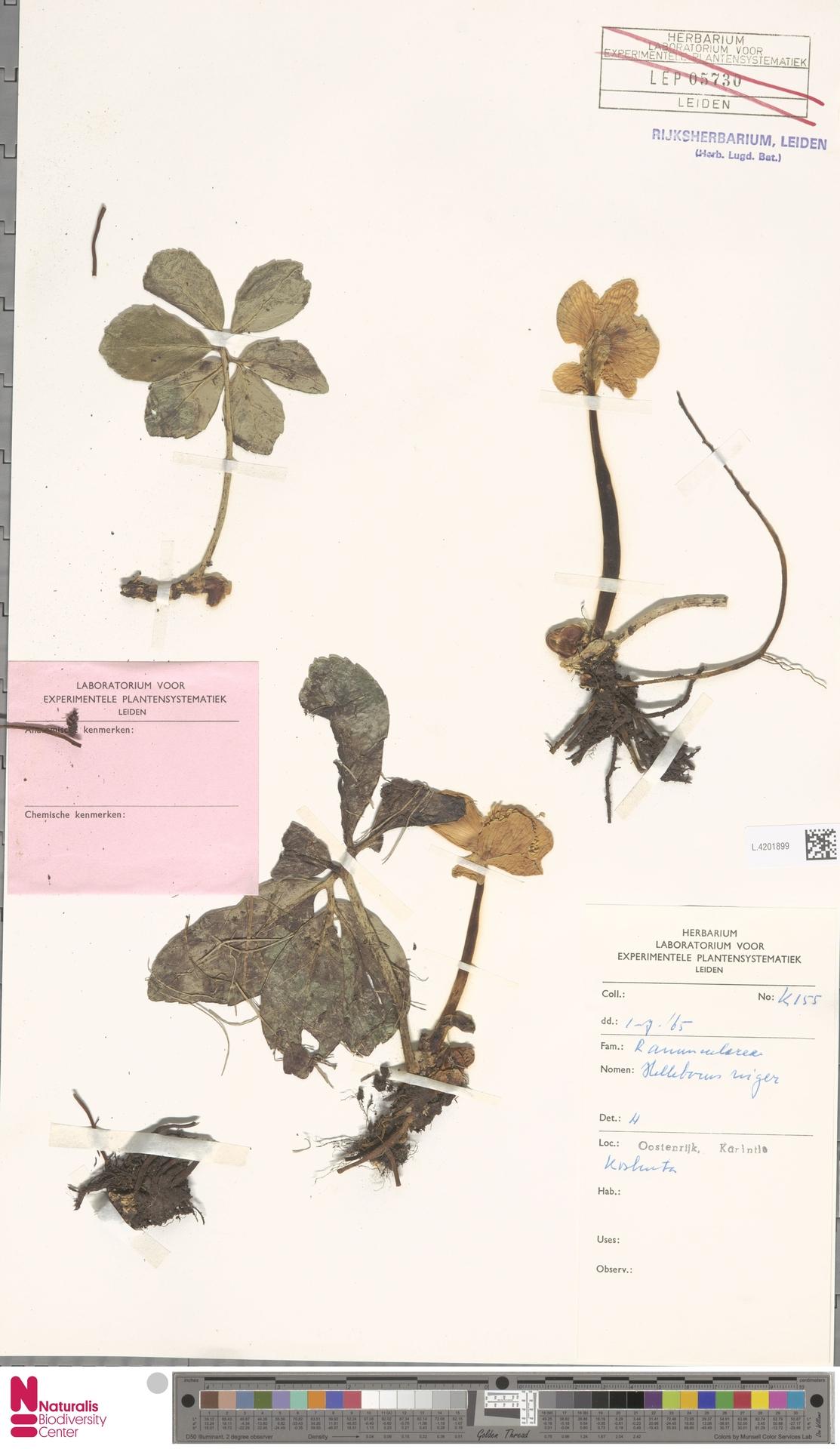 L.4201899 | Helleborus niger L.