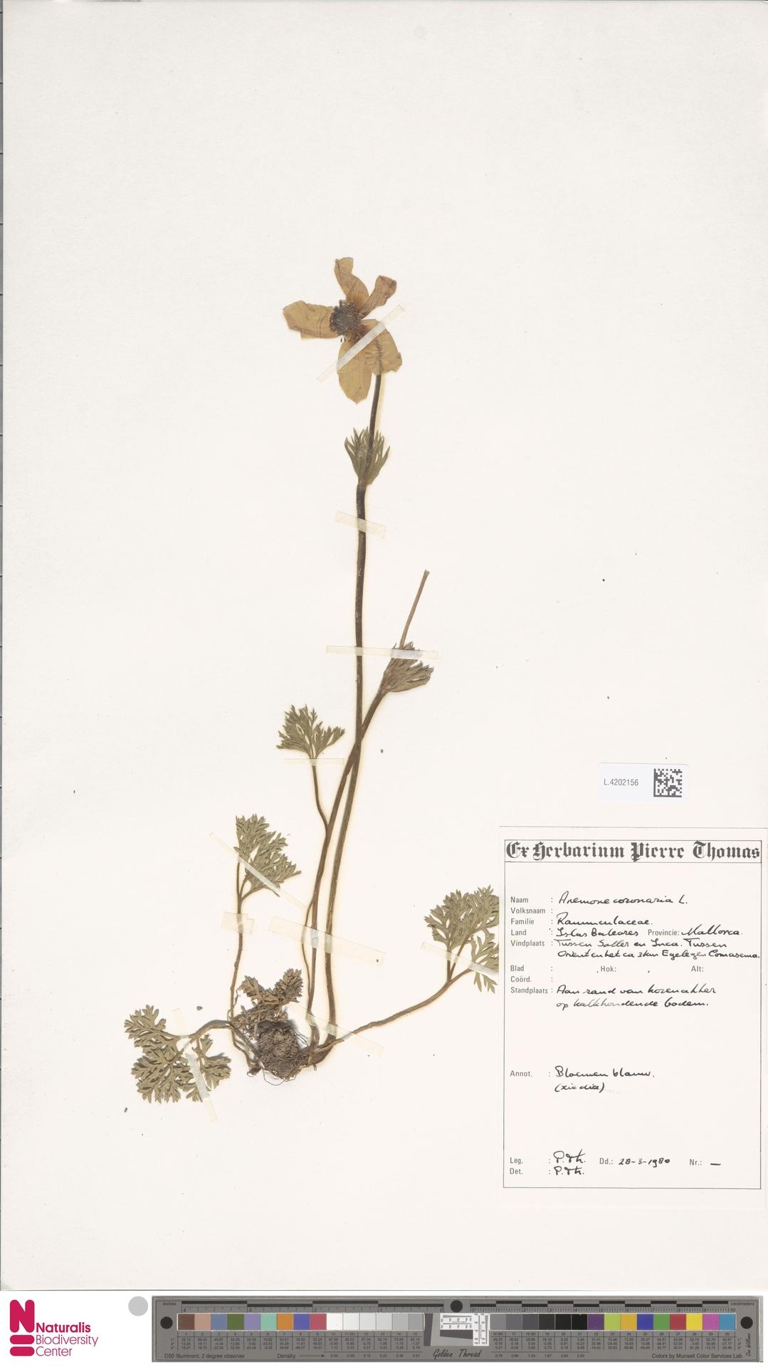 L.4202156 | Anemone coronaria L.