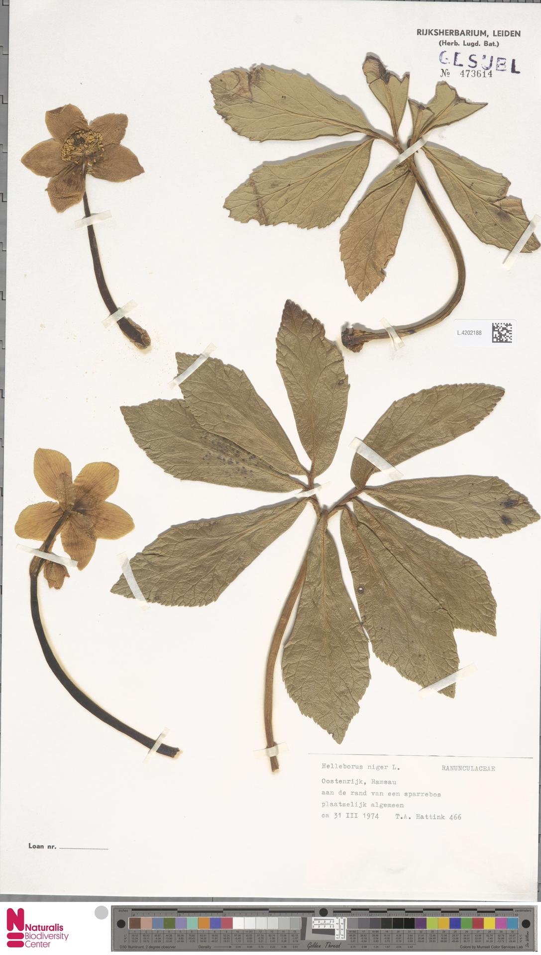 L.4202188 | Helleborus niger L.