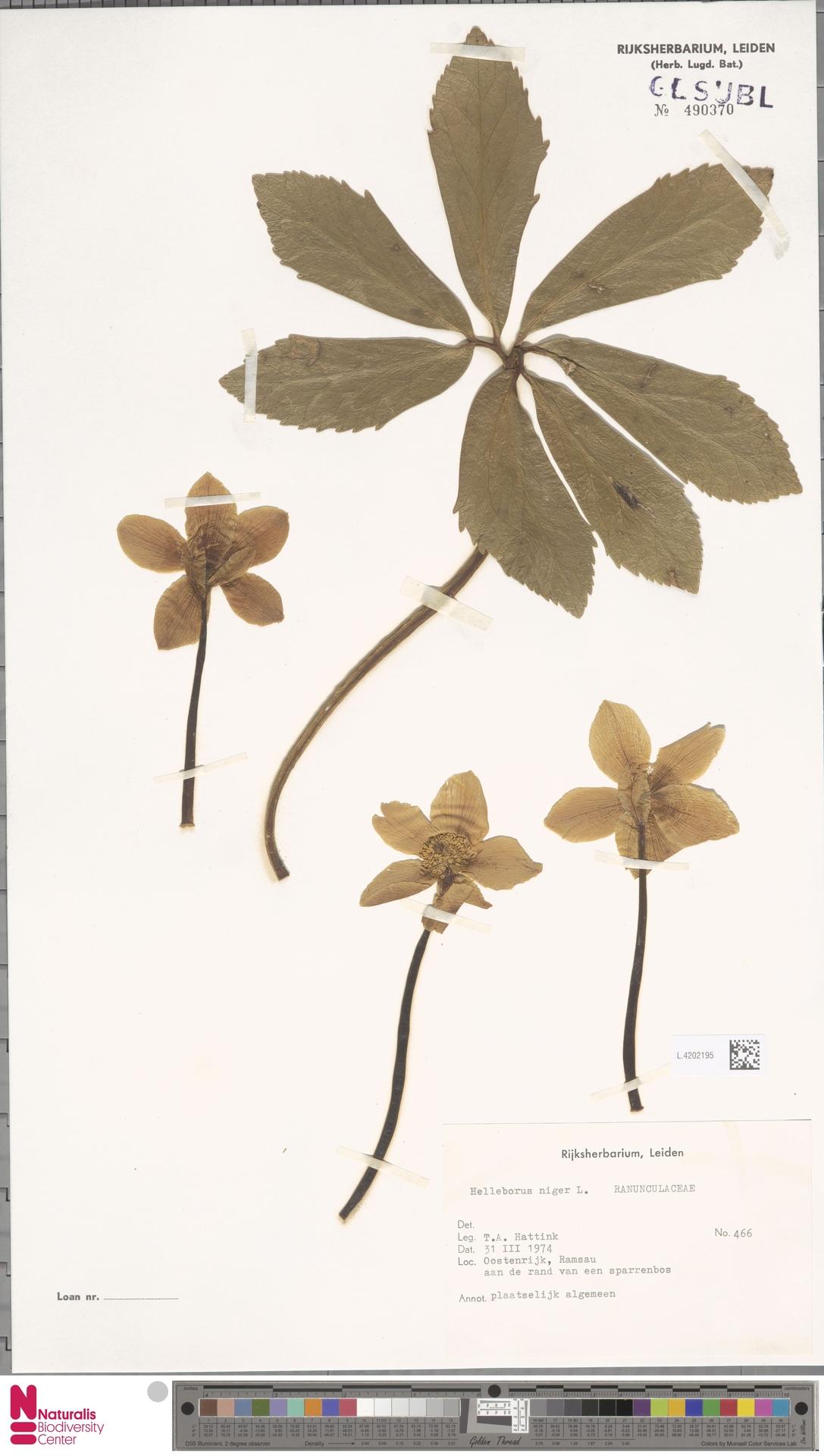 L.4202195 | Helleborus niger L.