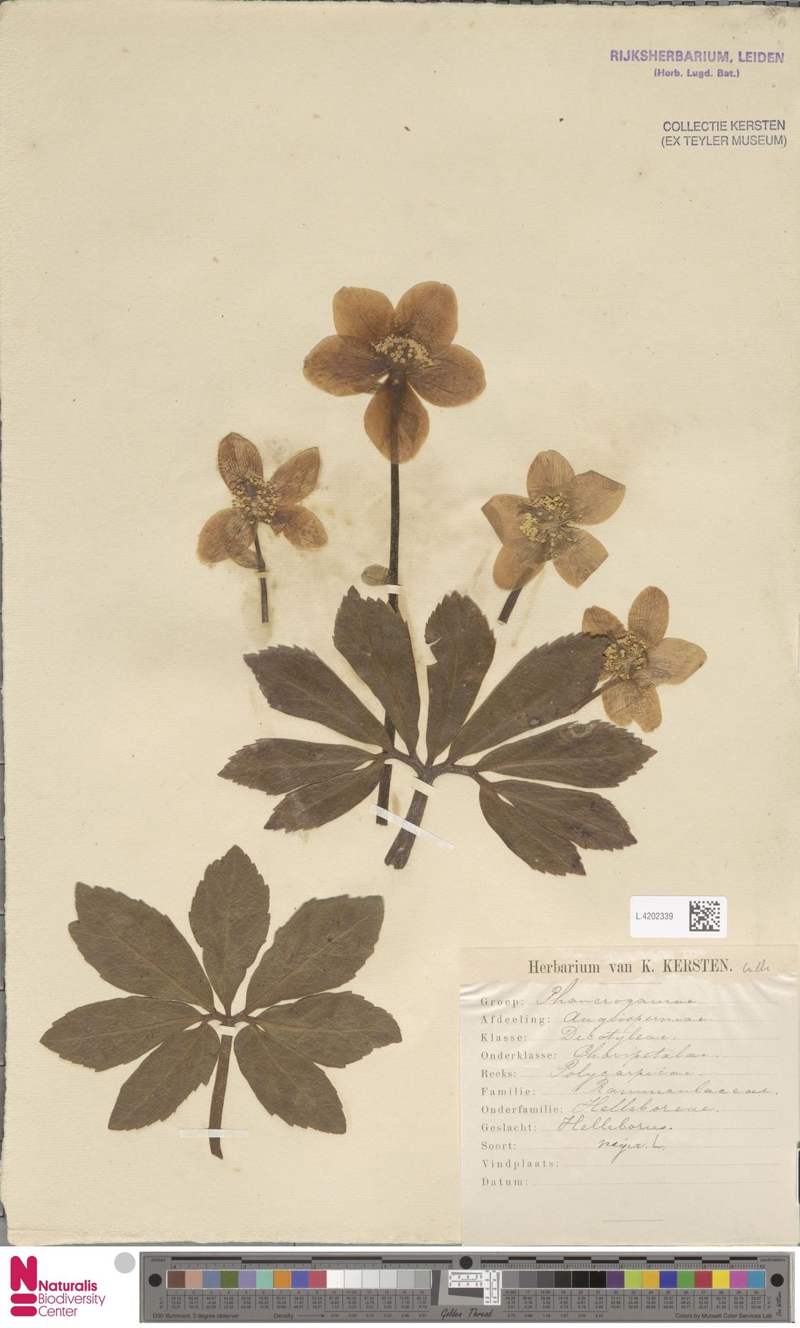 L.4202339 | Helleborus niger L.