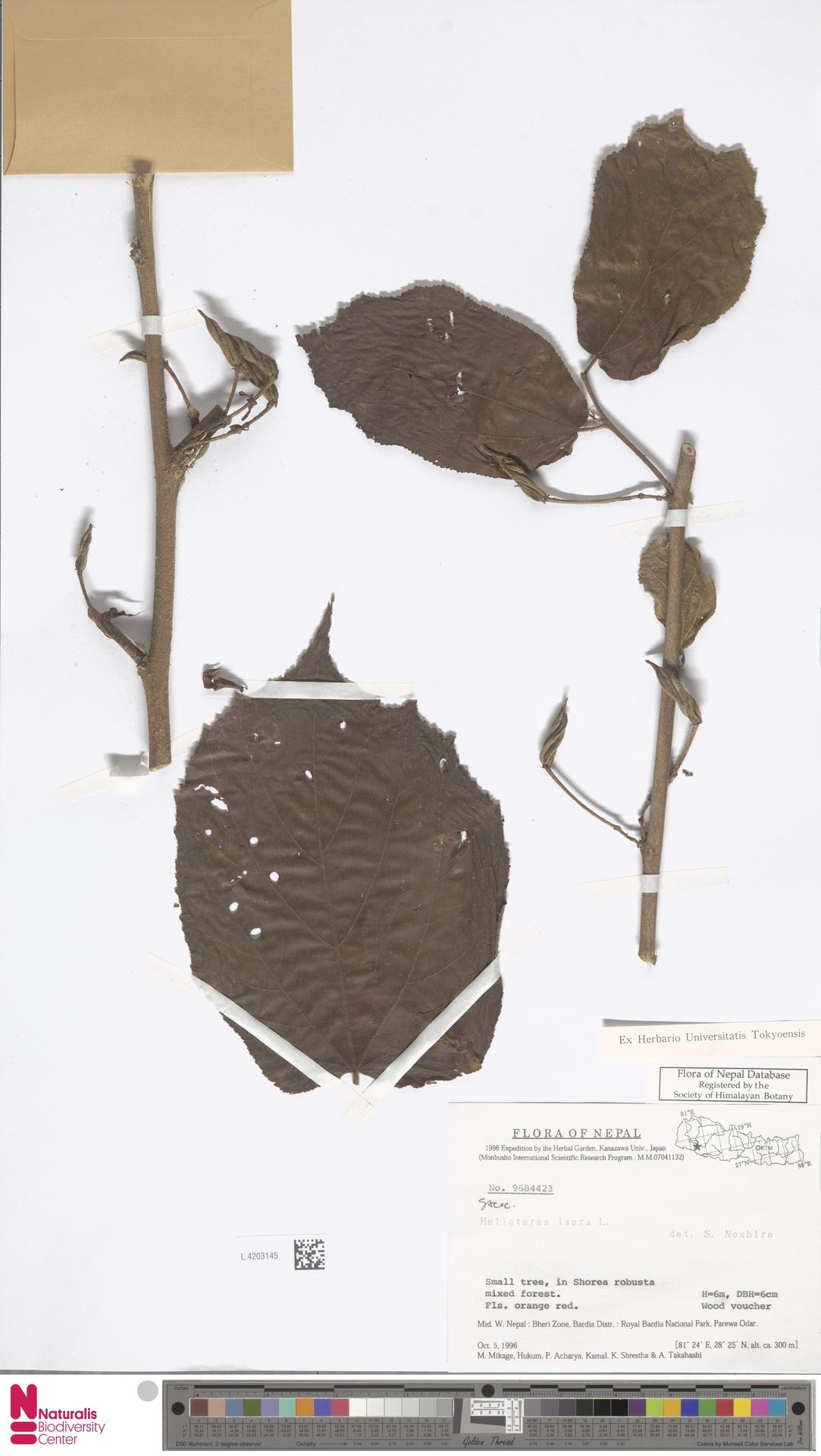 L.4203145 | Helicteres isora L.