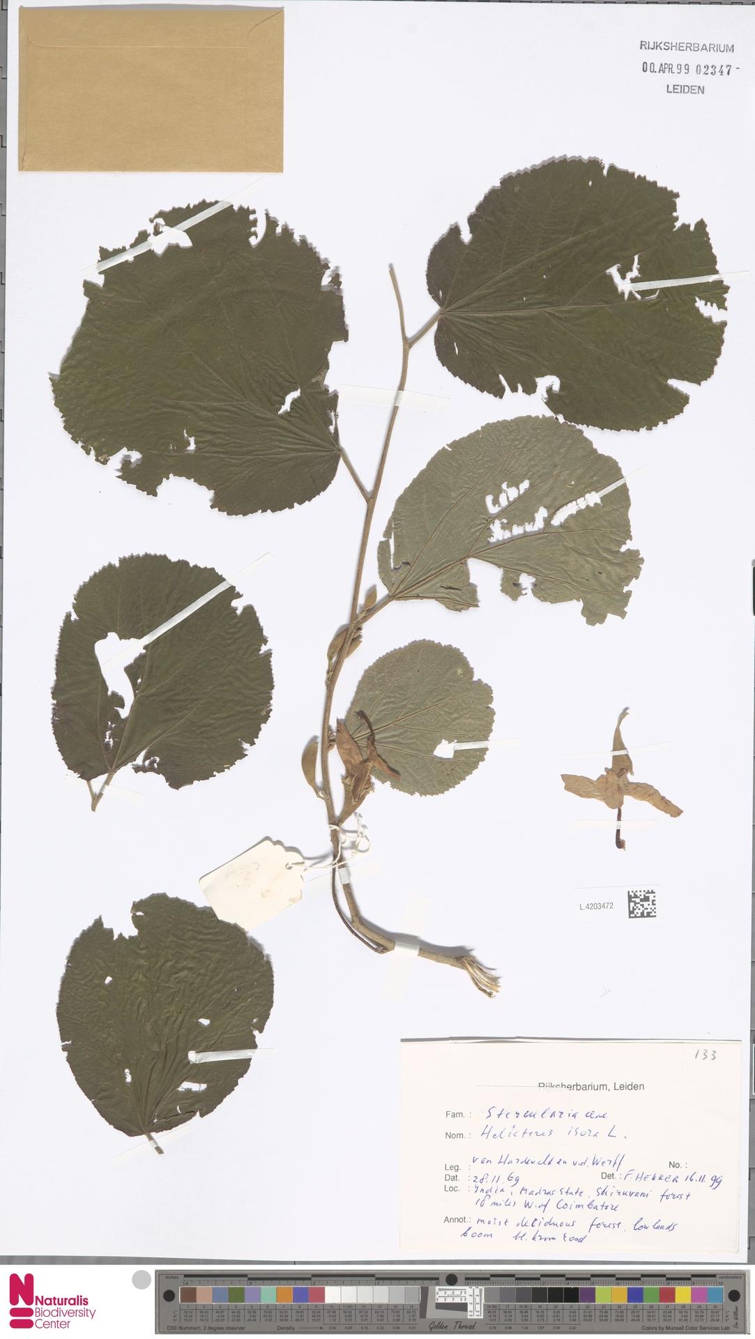 L.4203472 | Helicteres isora L.