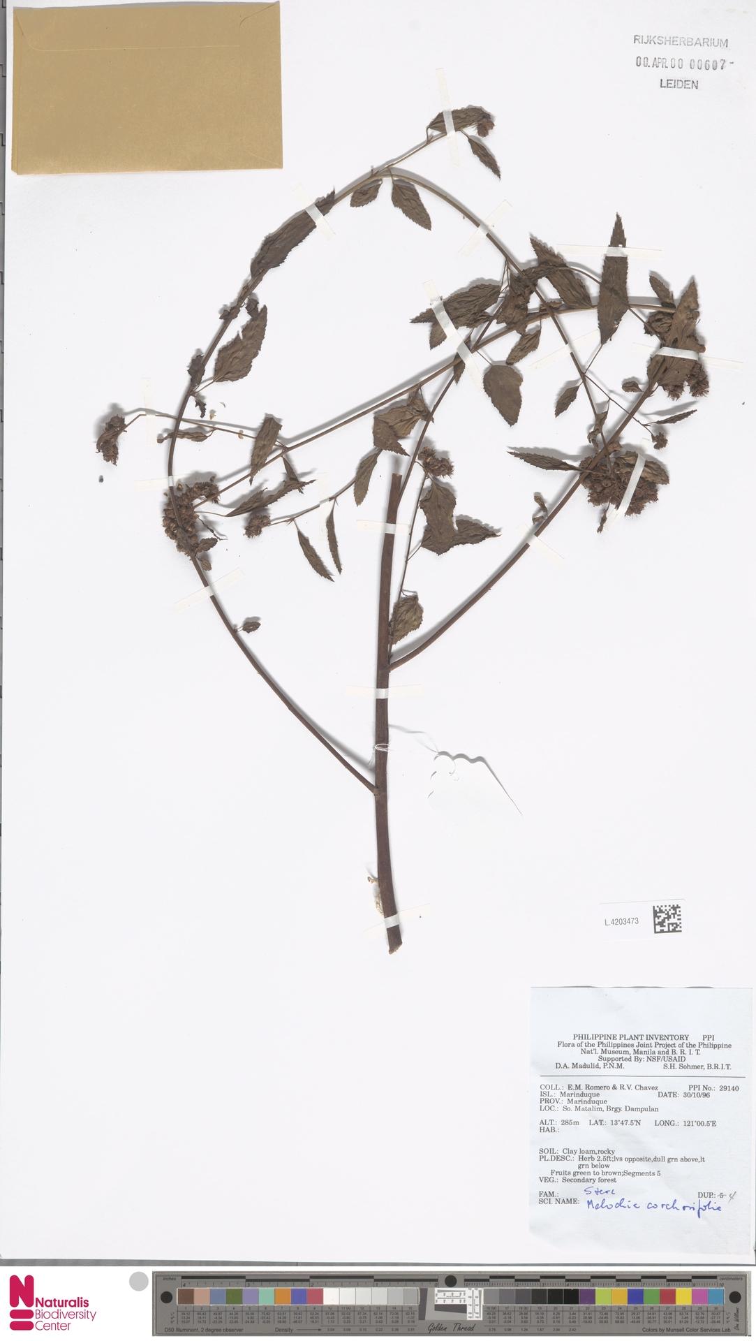 L.4203473   Melochia corchorifolia L.