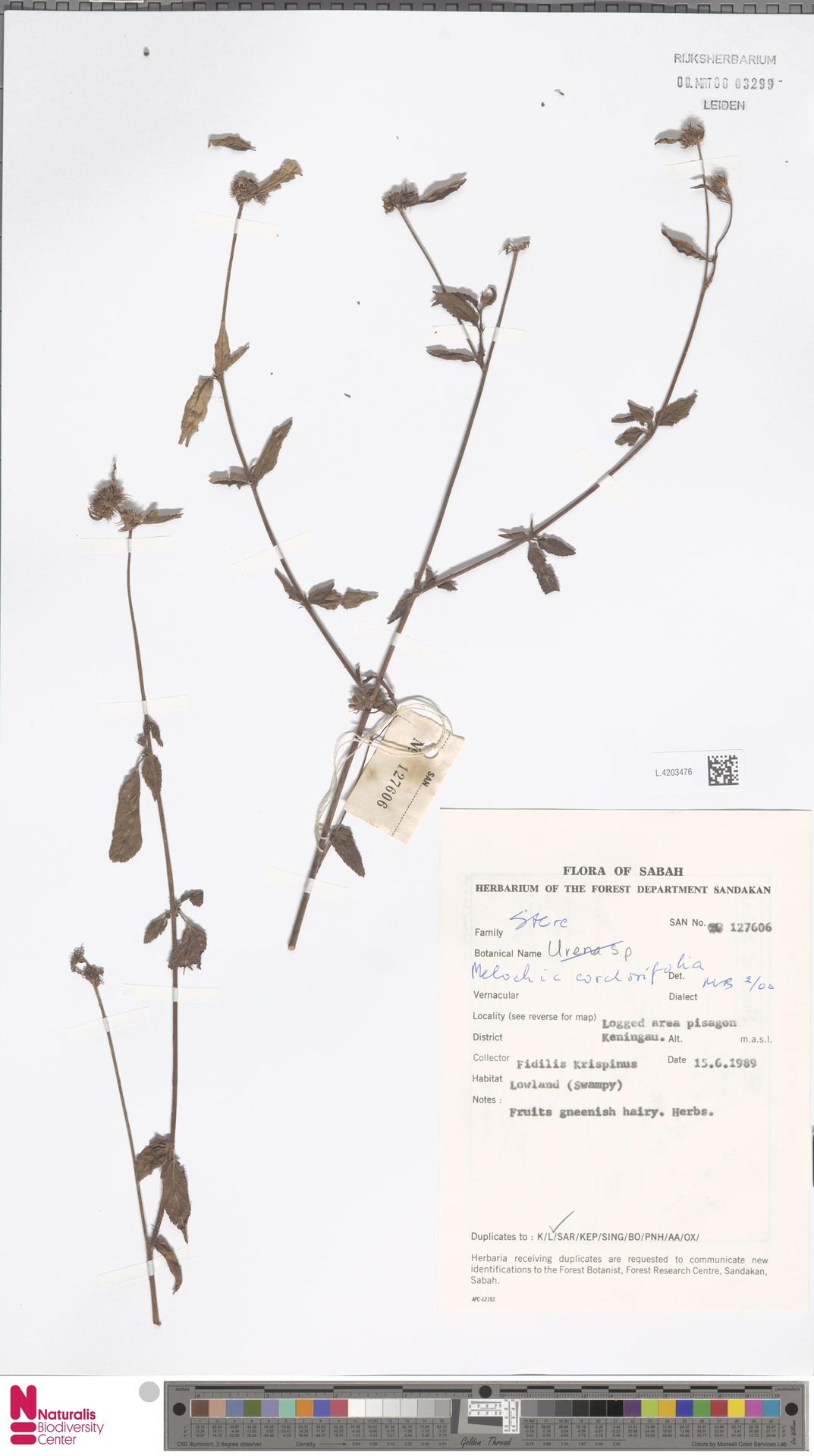 L.4203476   Melochia corchorifolia L.