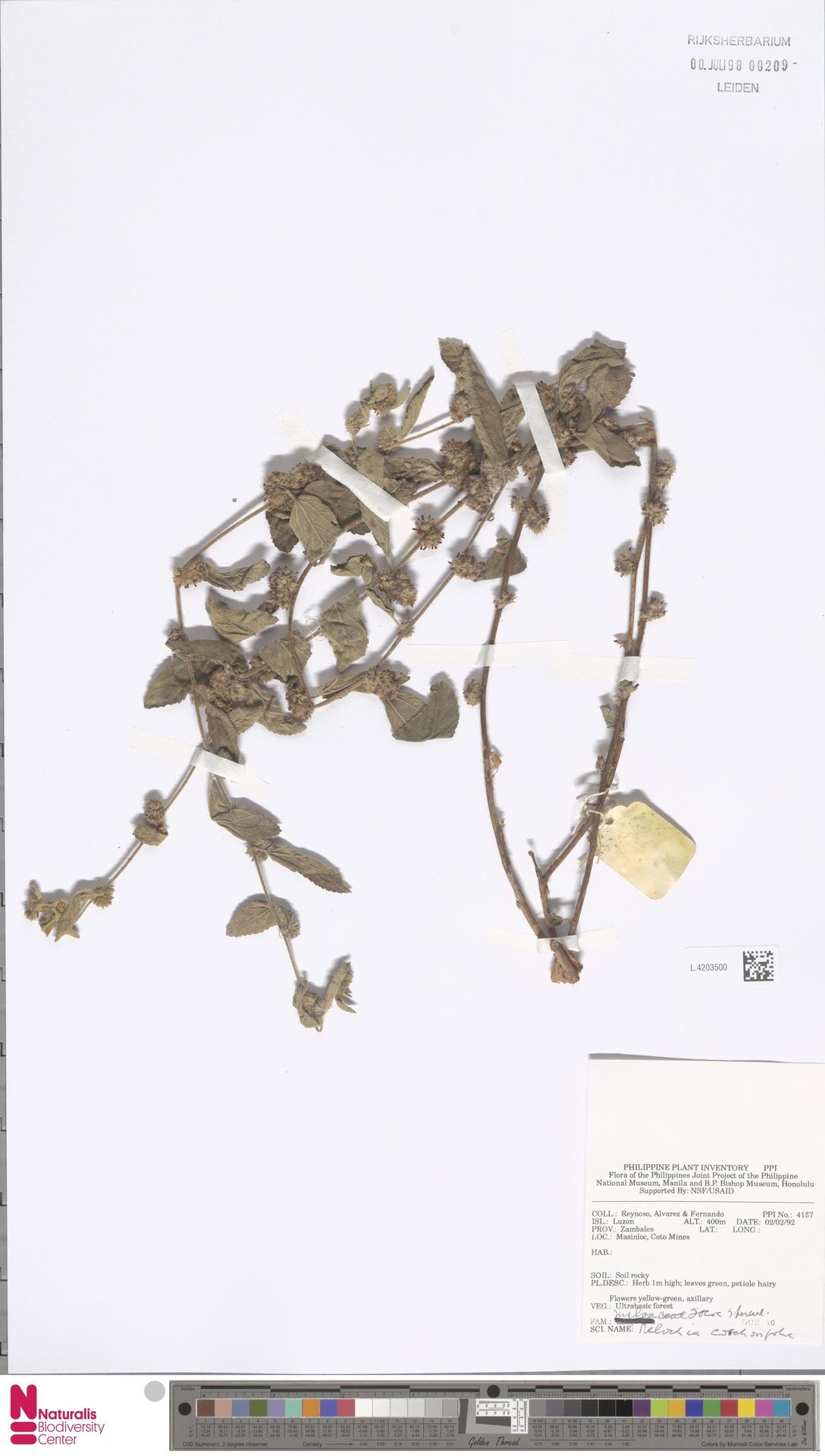 L.4203500   Melochia corchorifolia L.