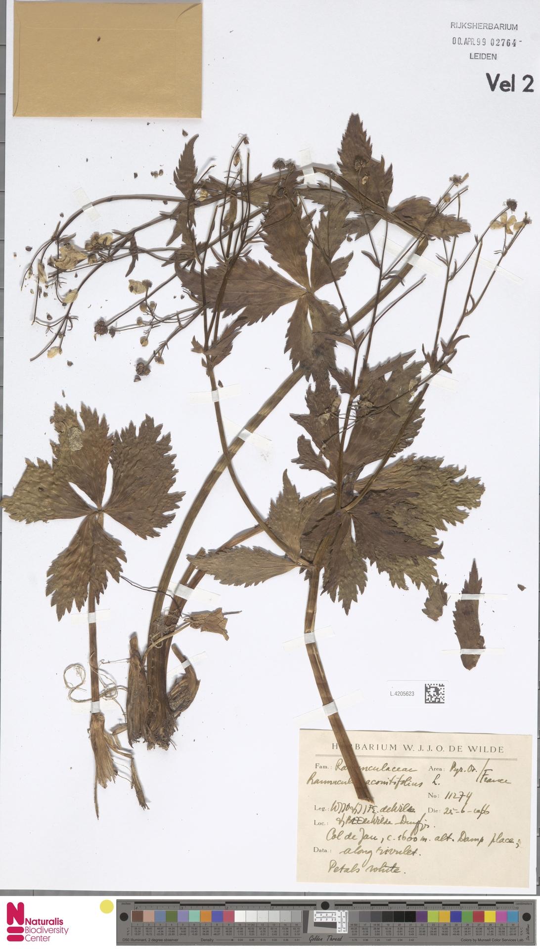 L.4205623   Ranunculus aconitifolius L.