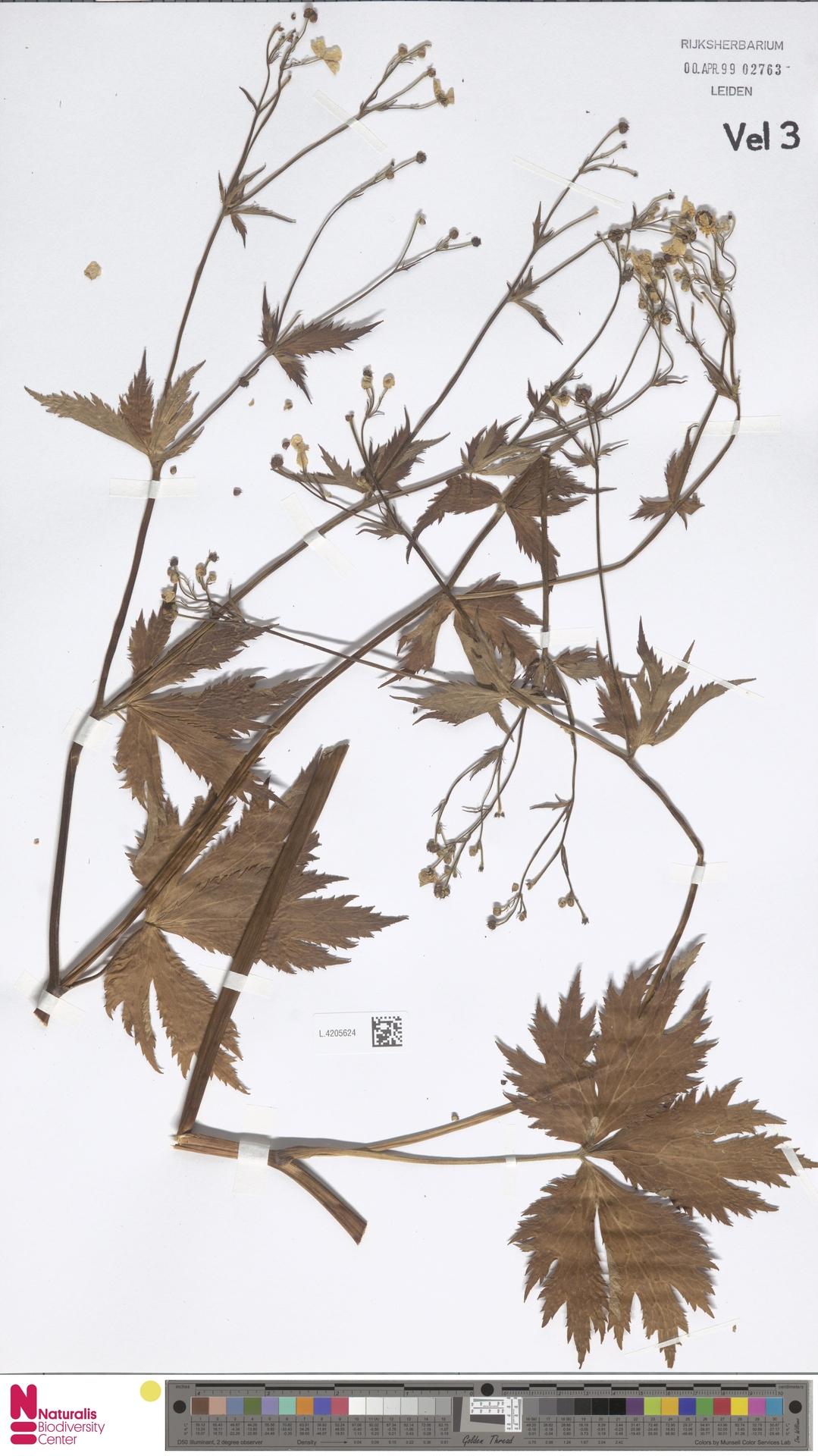 L.4205624   Ranunculus aconitifolius L.