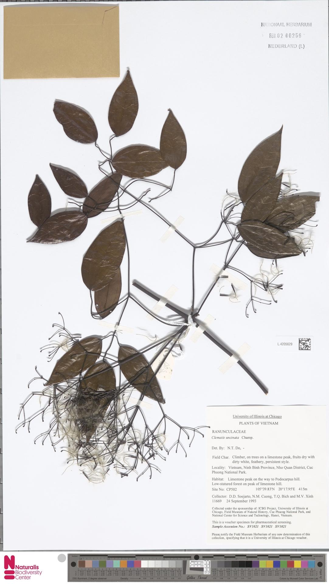 L.4205629 | Clematis uncinata Champ. ex Benth.