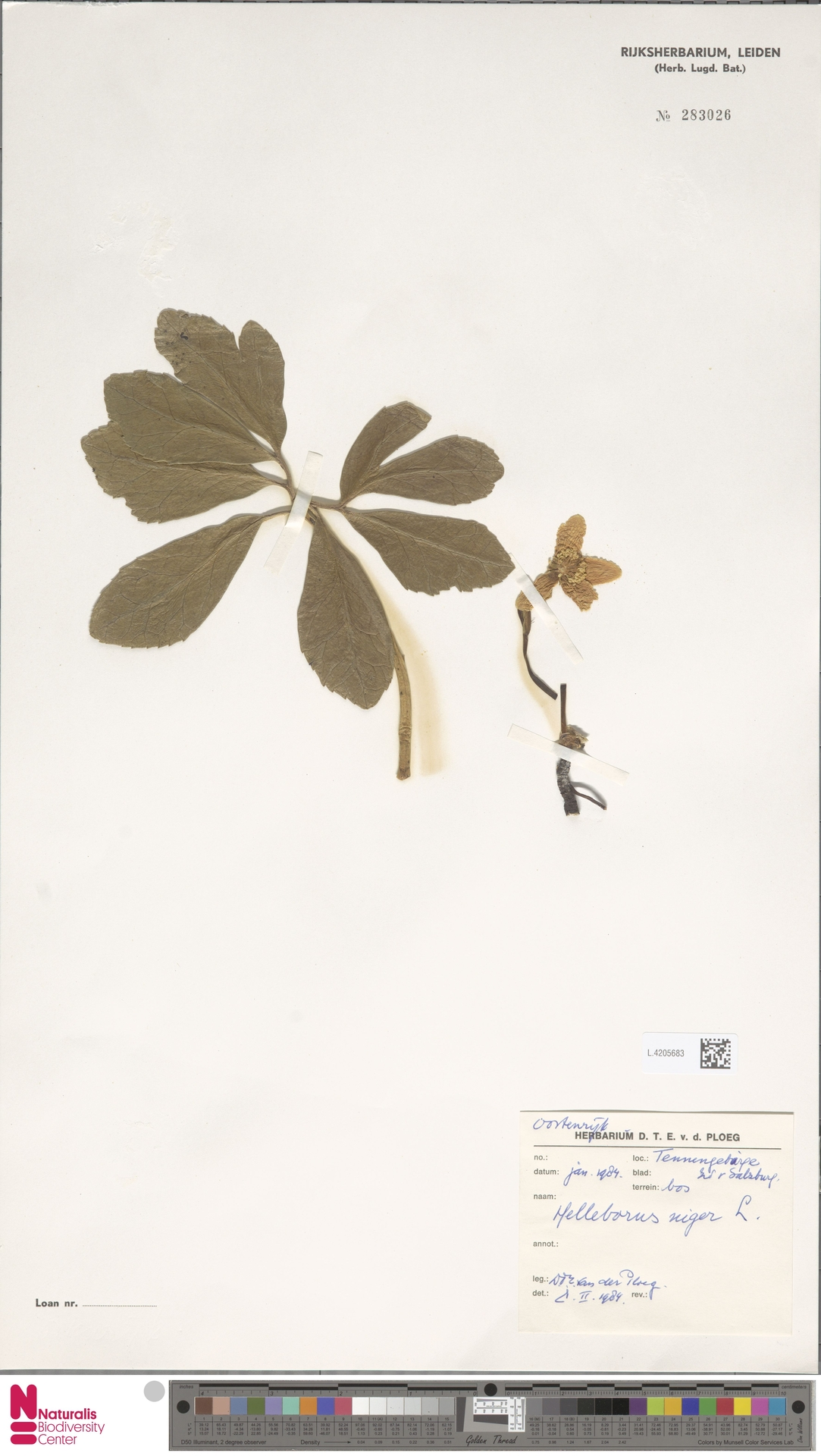 L.4205683 | Helleborus niger L.