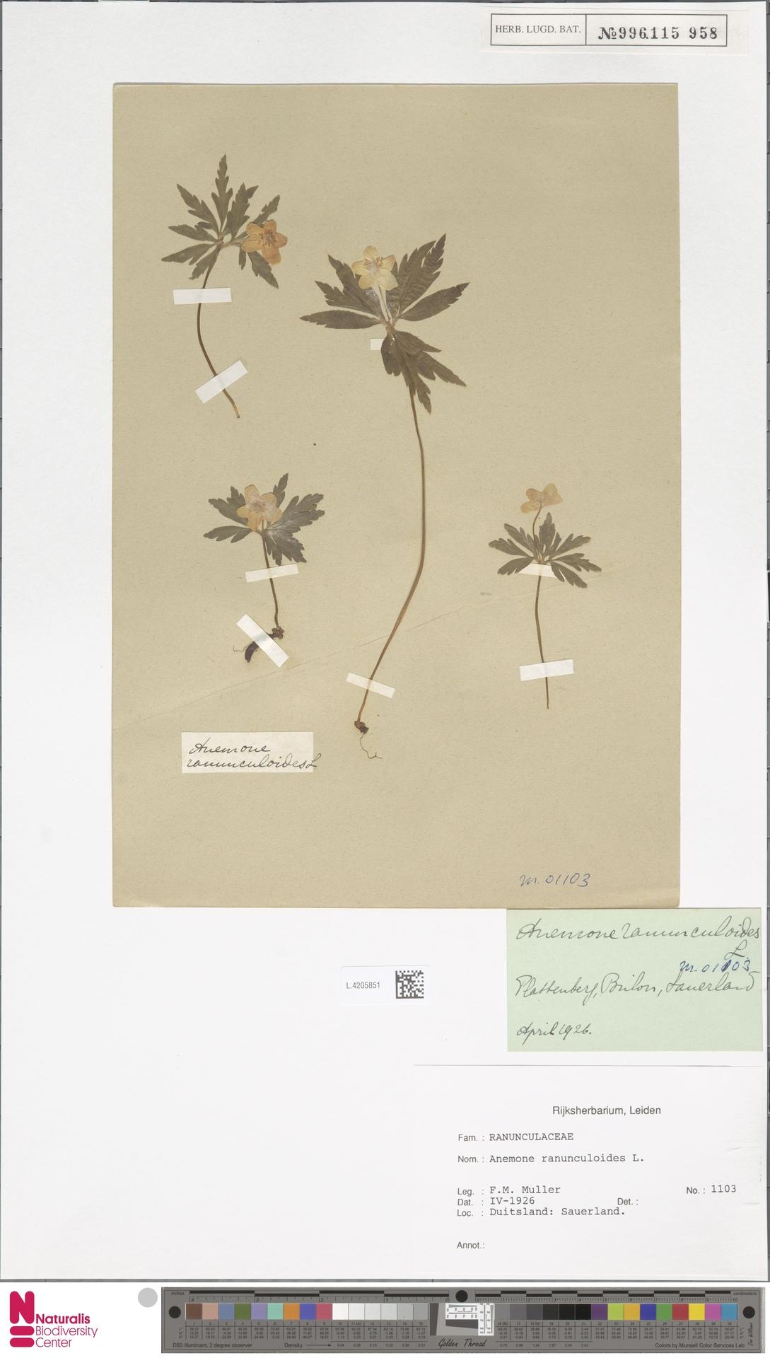 L.4205851 | Anemone ranunculoides L.