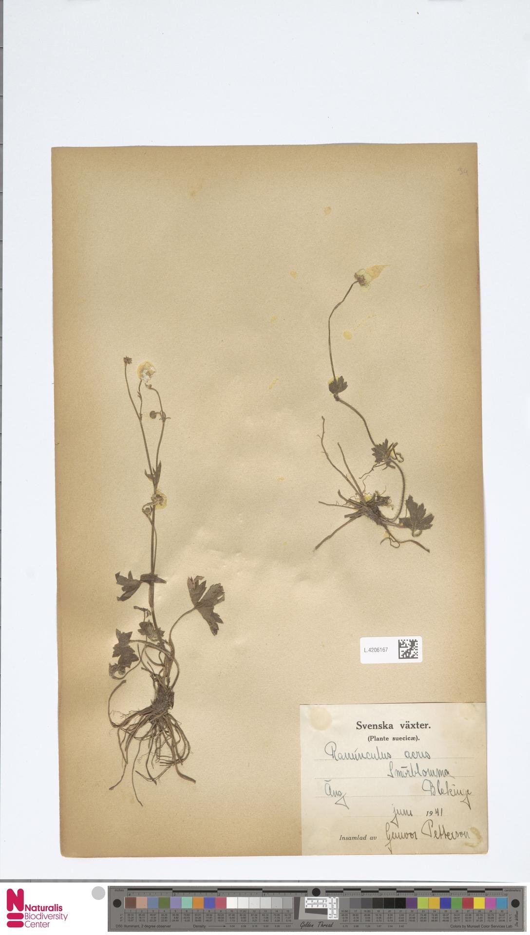 L.4206167 | Ranunculus acris L.