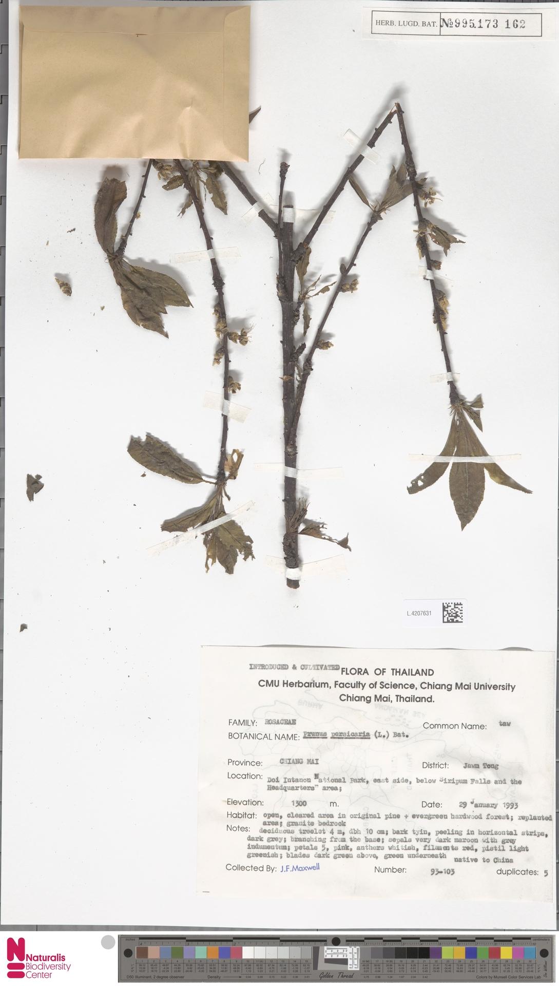 L.4207631 | Prunus persica (L.) Batsch