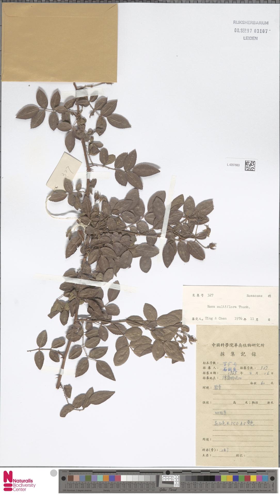 L.4207663   Rosa multiflora Thunb.
