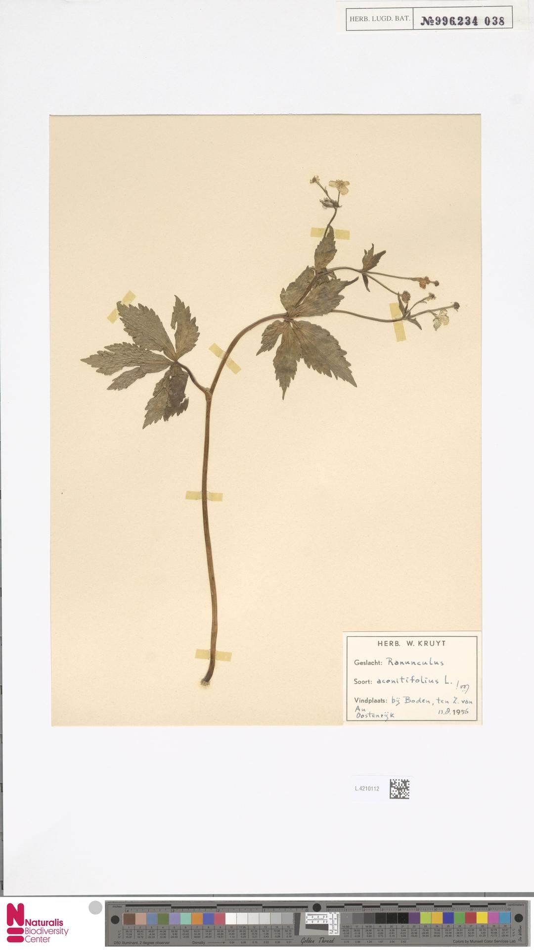L.4210112 | Ranunculus aconitifolius L.