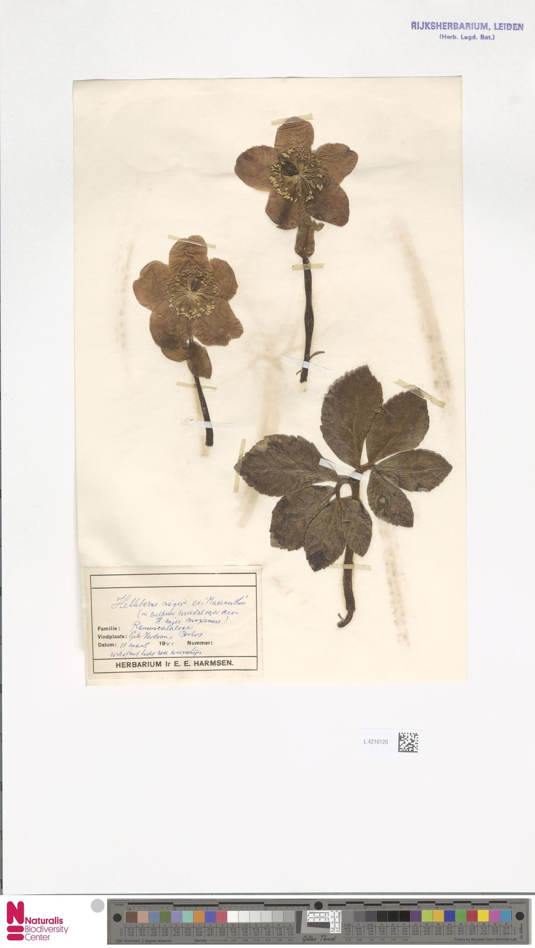 L.4210120   Helleborus niger L.