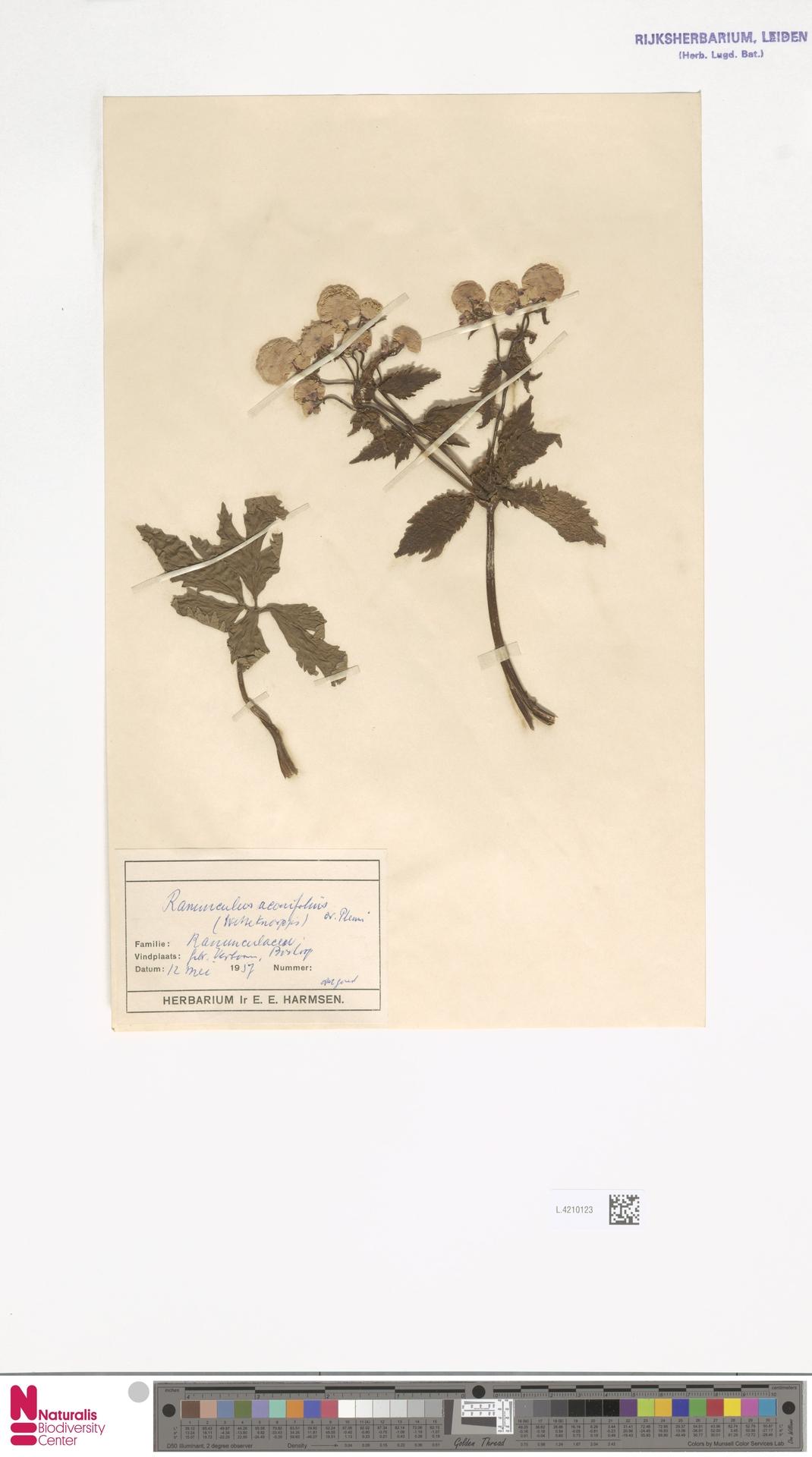 L.4210123 | Ranunculus aconitifolius L.