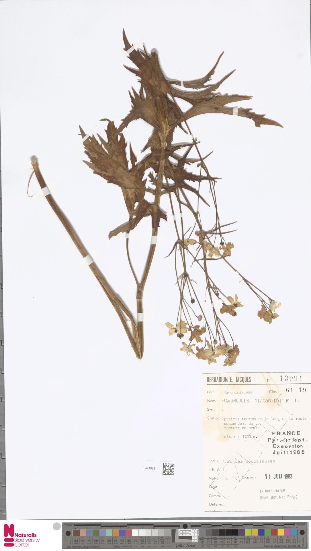 L.4210221 | Ranunculus platanifolius L.
