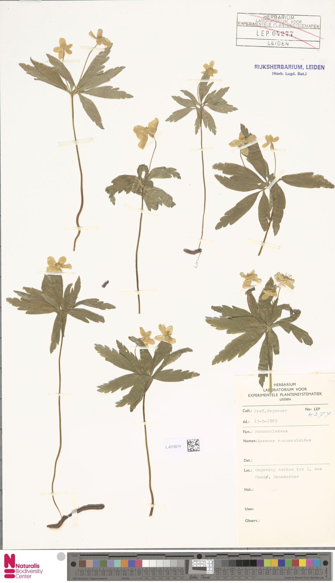 L.4210514 | Anemone ranunculoides L.