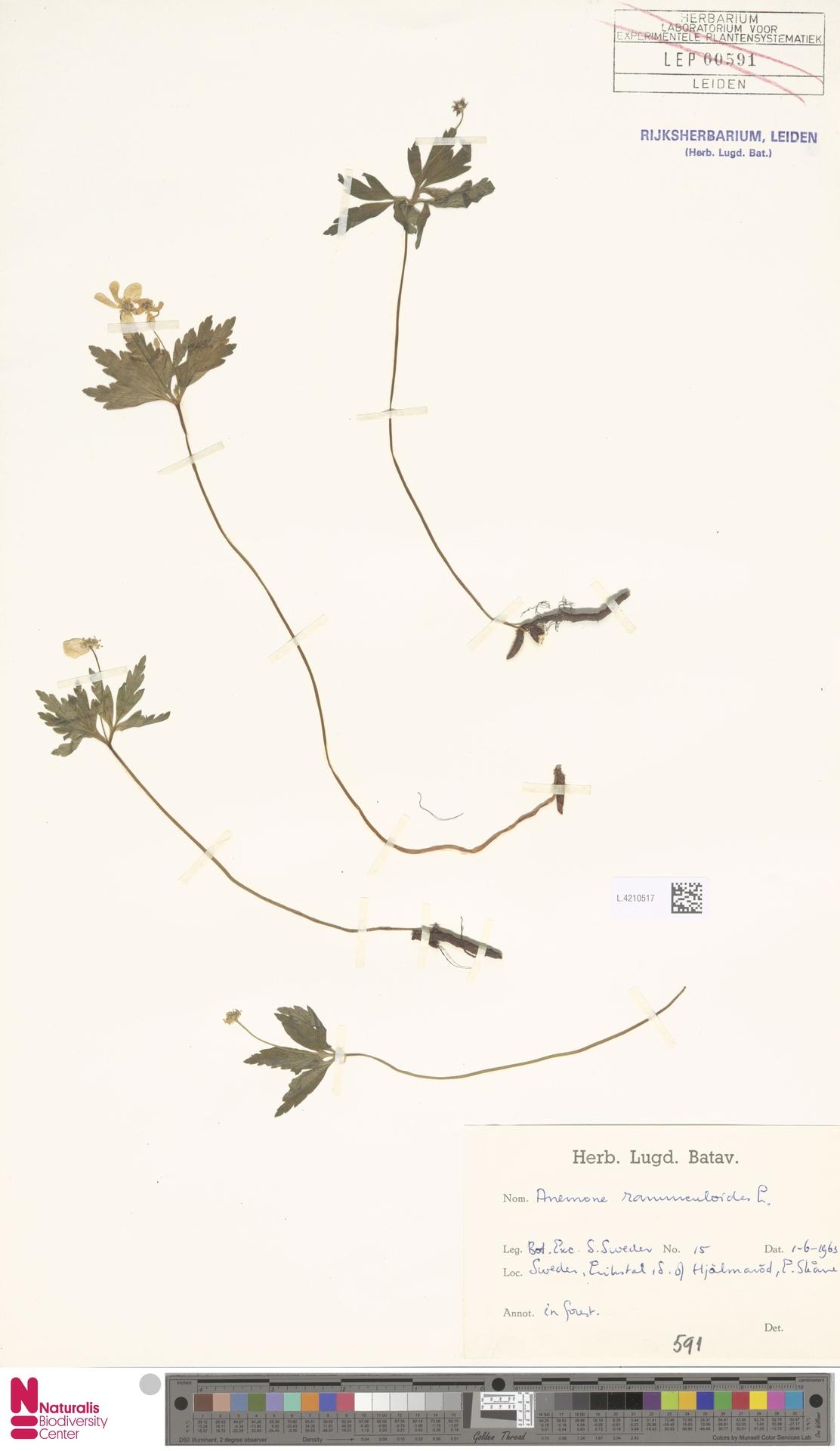 L.4210517 | Anemone ranunculoides L.
