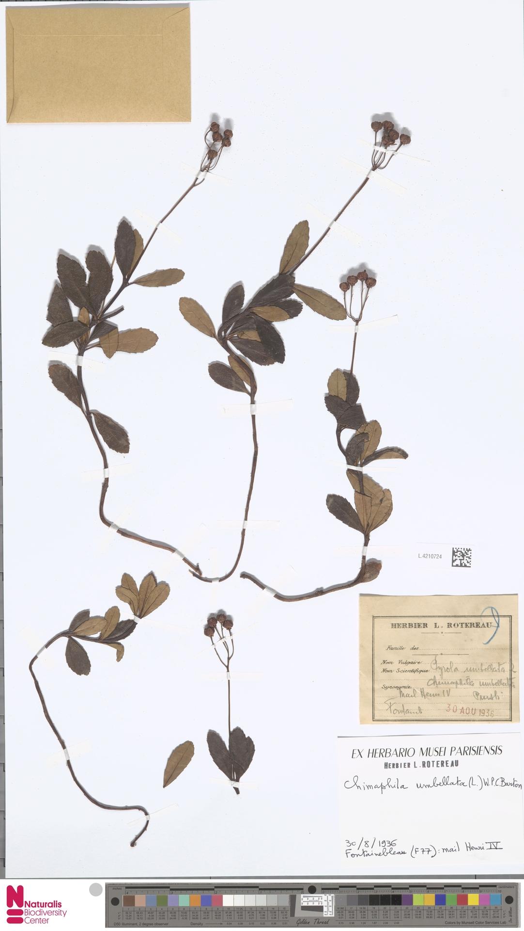 L.4210724 | Chimaphila umbellata (L.) W.C.Barton