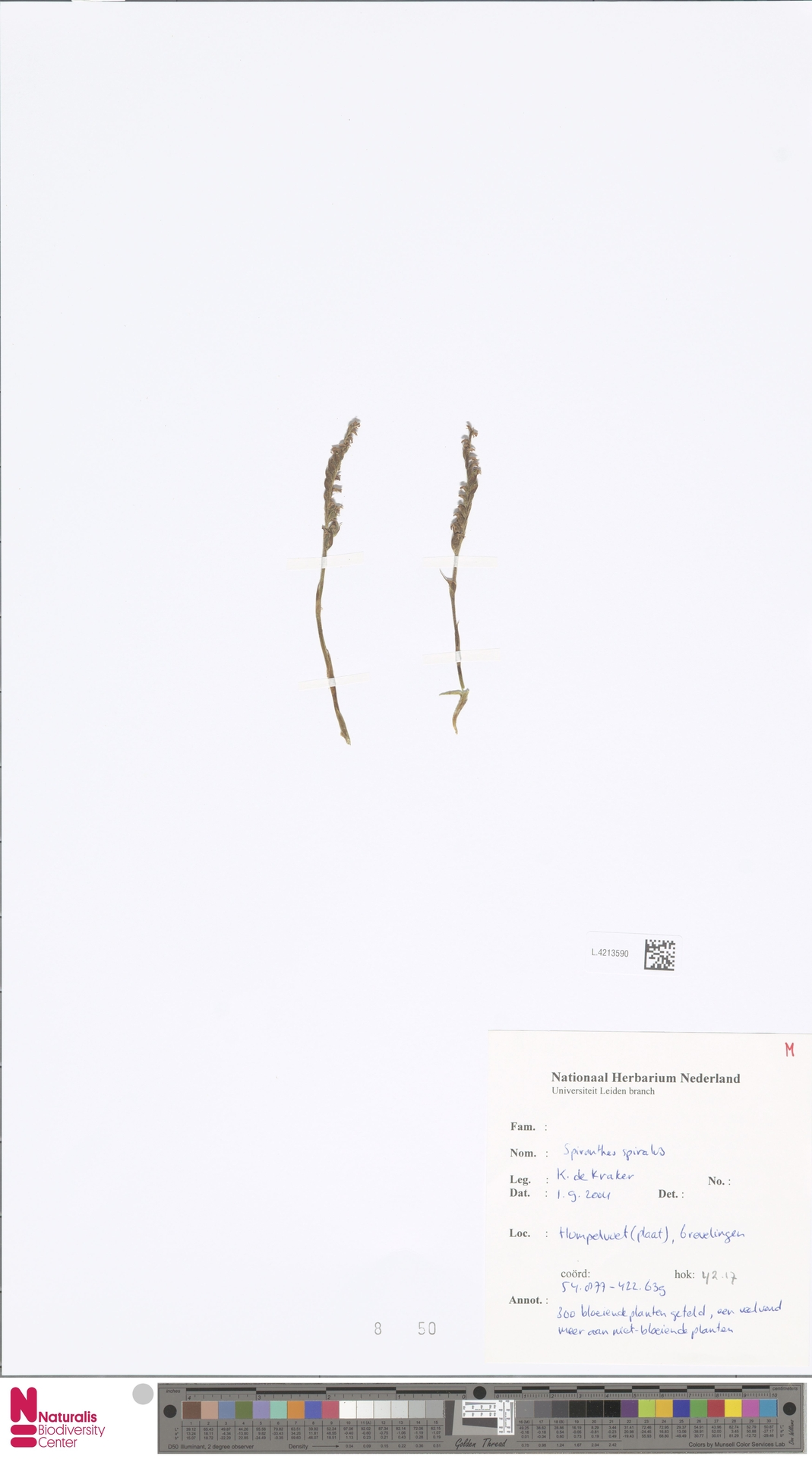 L.4213590 | Spiranthes spiralis (L.) Chevall.