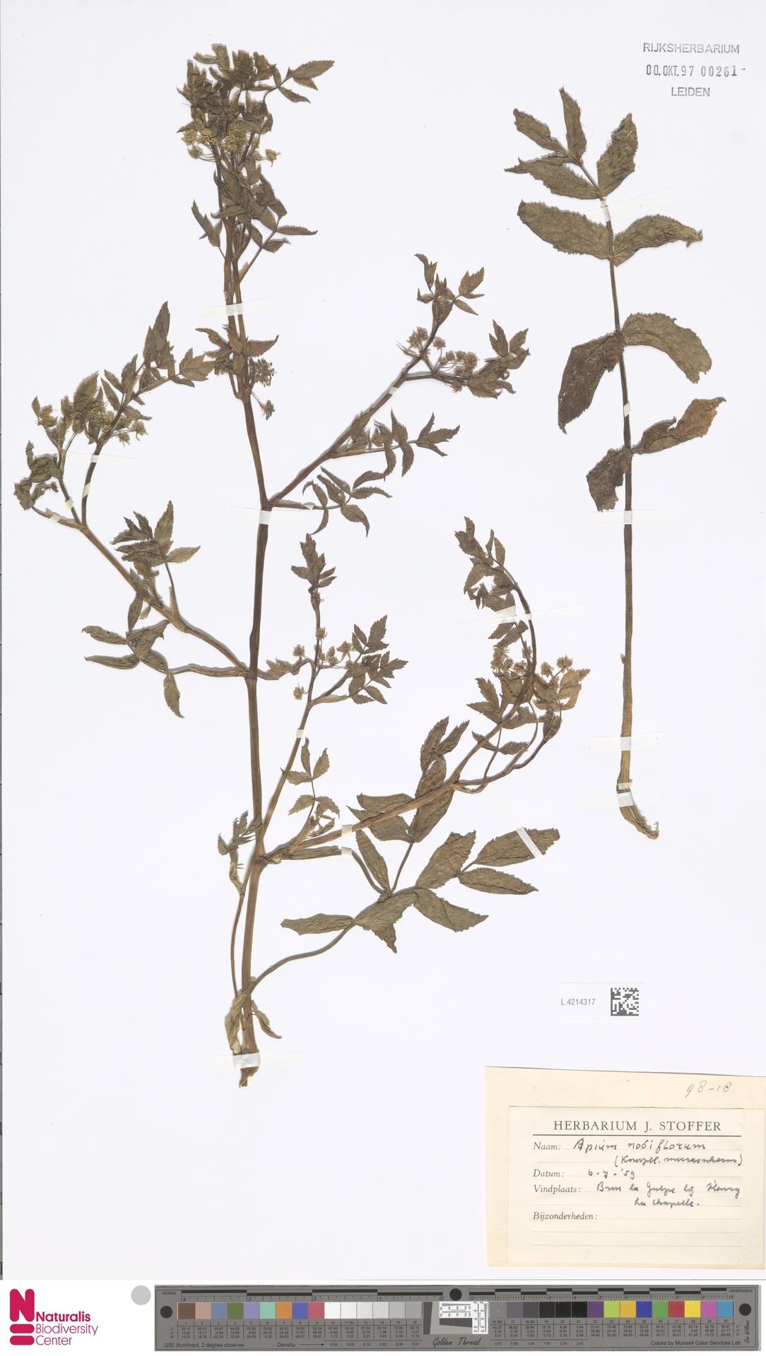 L.4214317 | Apium nodiflorum (L.) Lag.