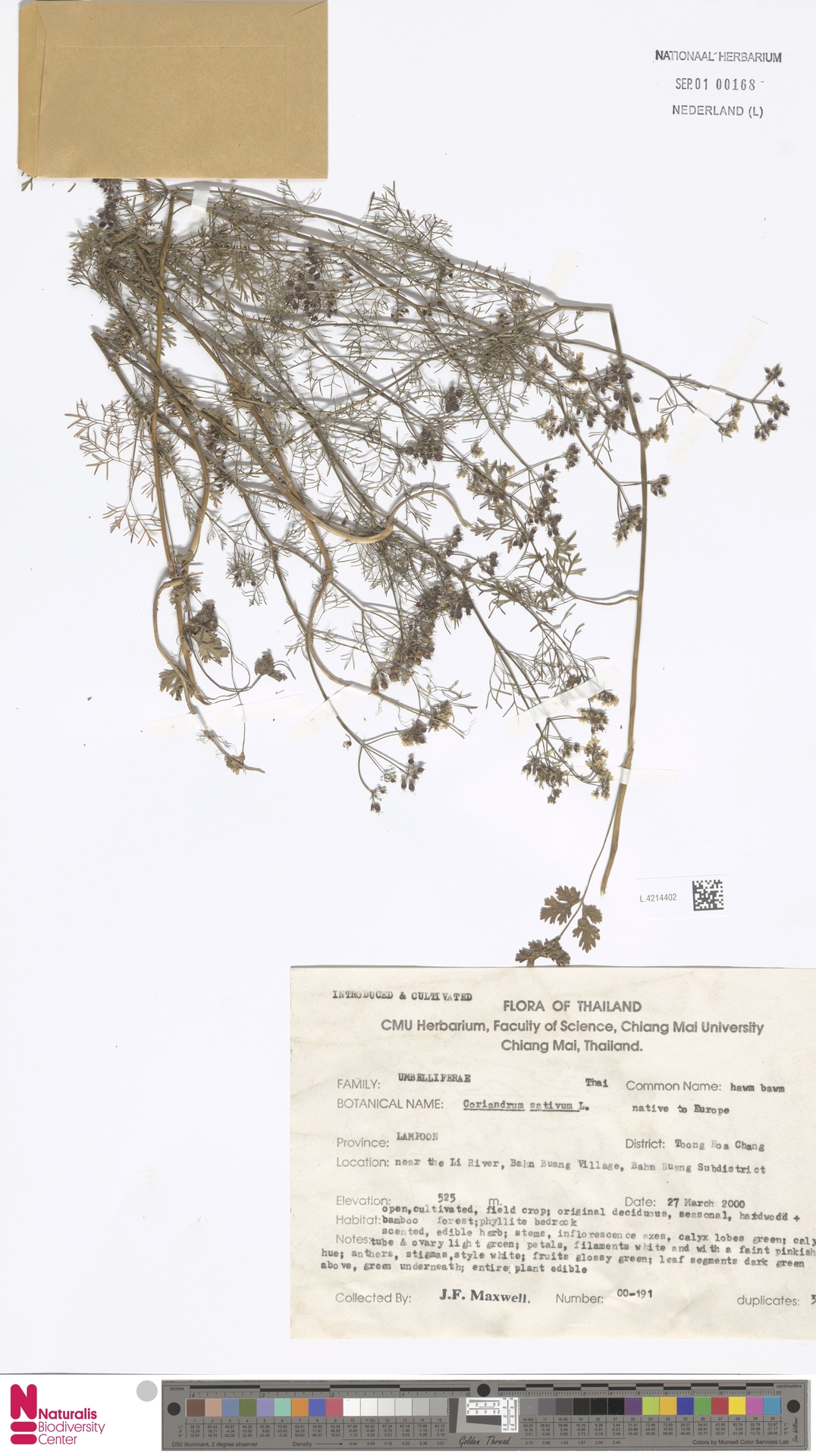 L.4214402 | Coriandrum sativum L.