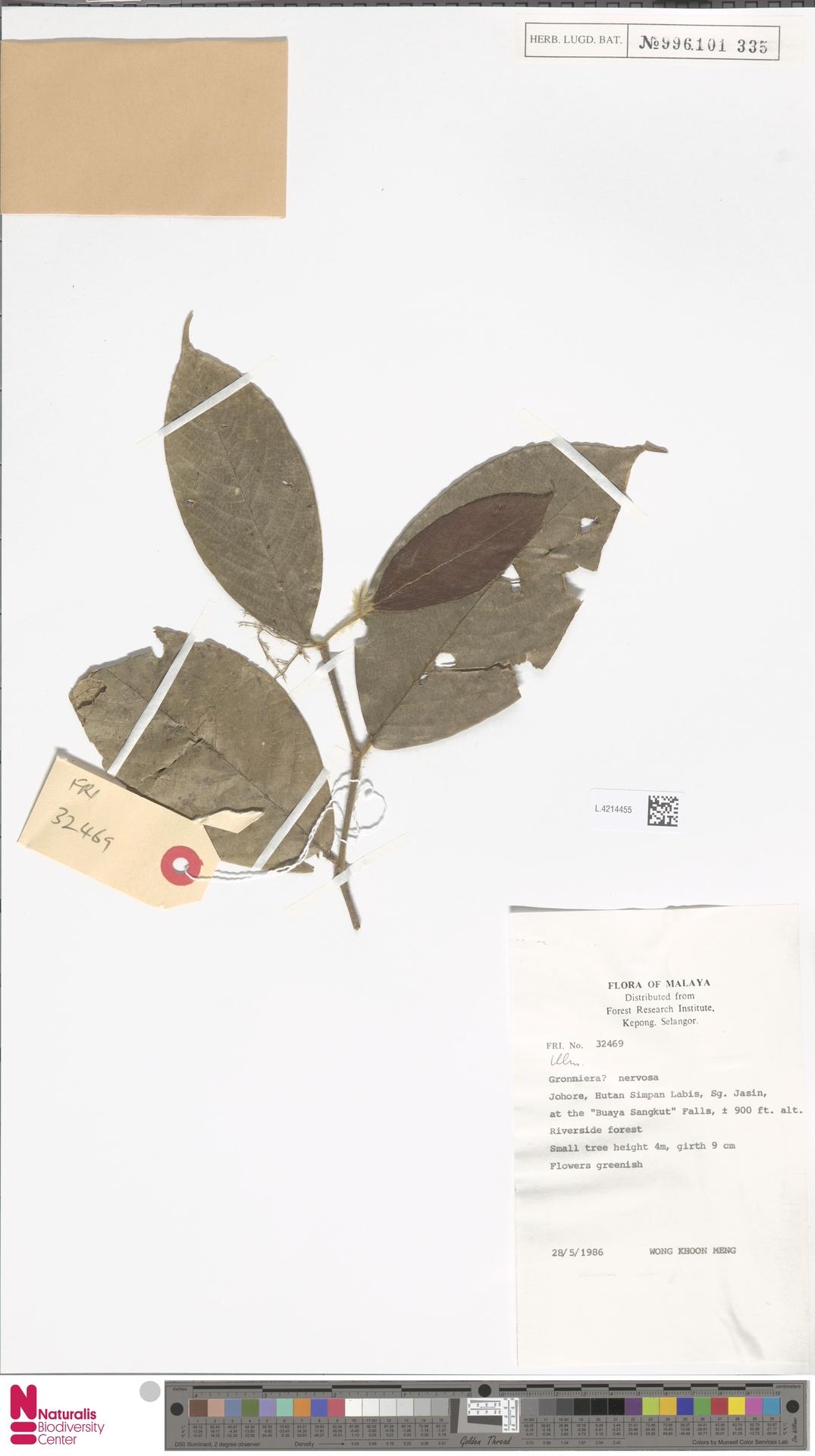 L.4214455 | Gironniera nervosa Planch.