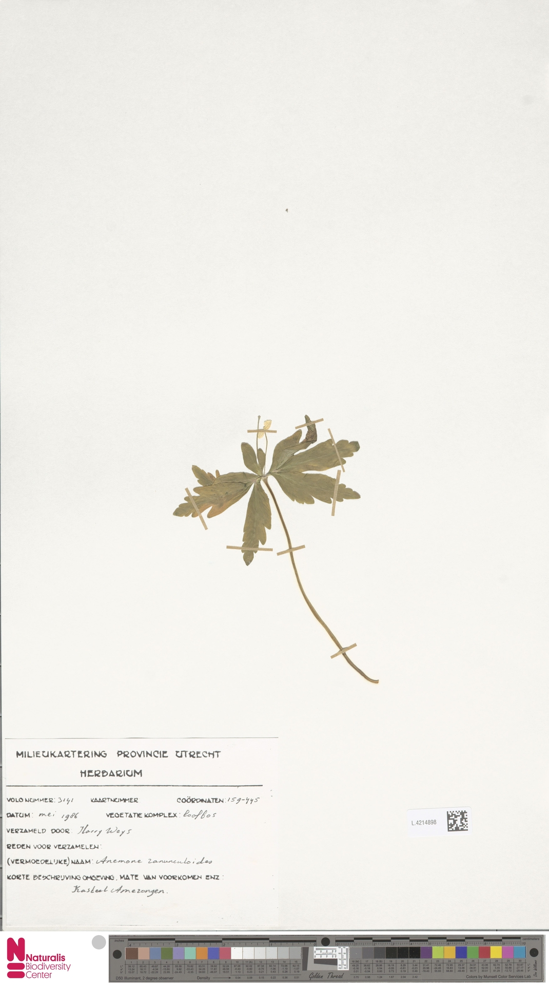 L.4214898 | Anemone ranunculoides L.