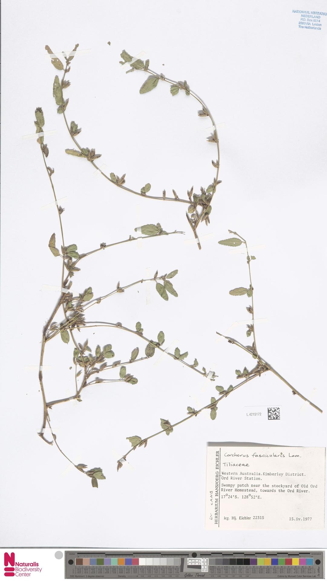 L.4215172 | Corchorus fascicularis Lam.