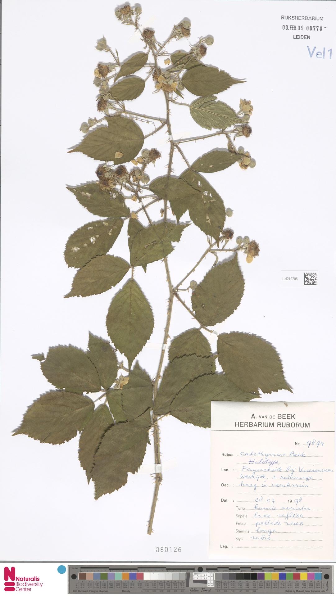 L.4219706 | Rubus calothyrsus A.Beek