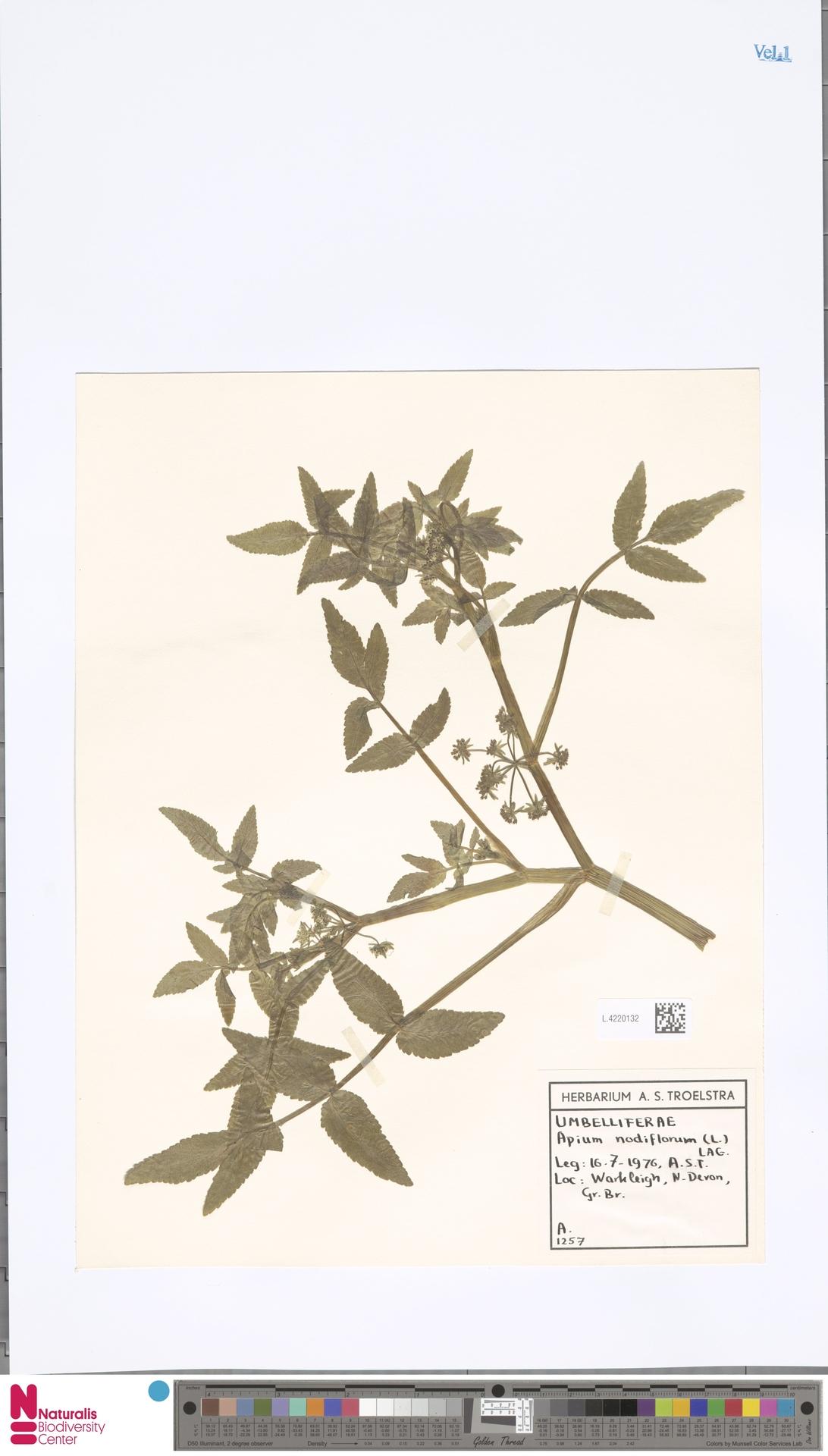 L.4220132 | Apium nodiflorum (L.) Lag.