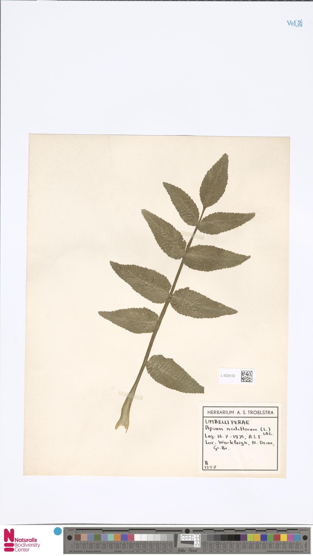 L.4220133 | Apium nodiflorum (L.) Lag.