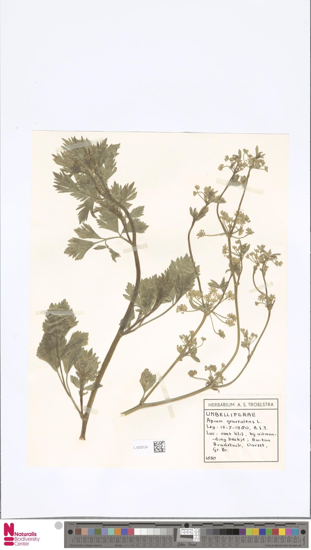 L.4220134 | Apium graveolens L.