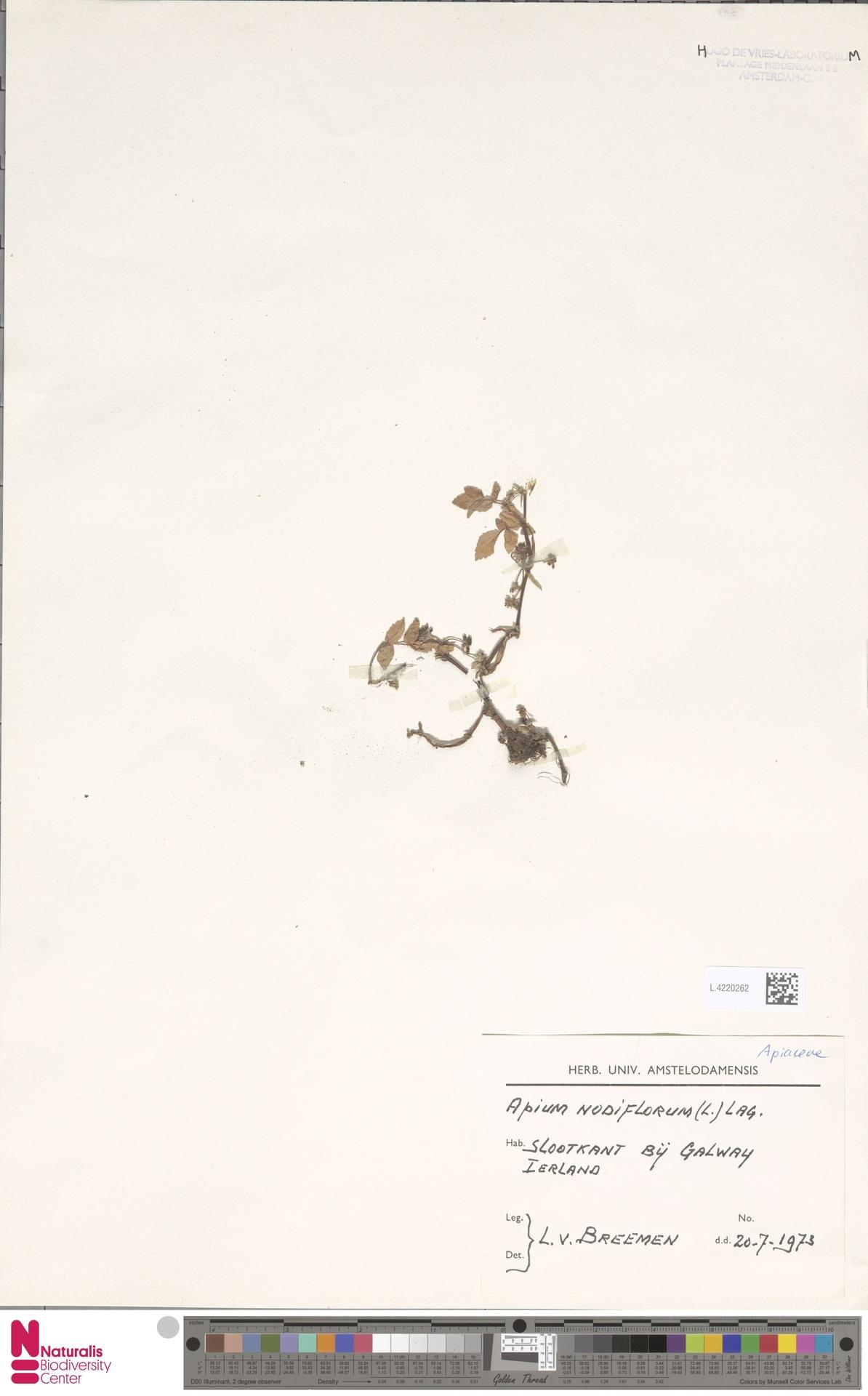 L.4220262 | Apium nodiflorum (L.) Lag.