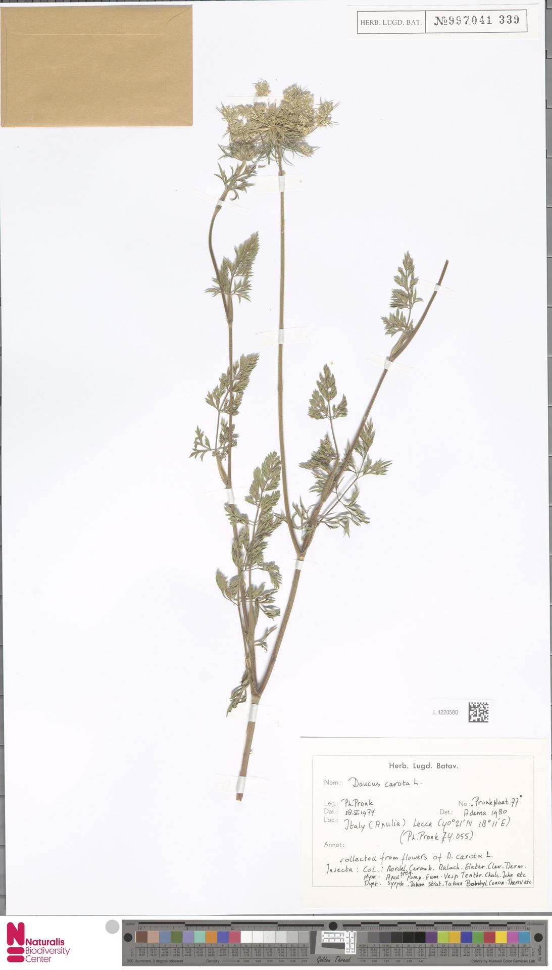 L.4220580   Daucus carota L.