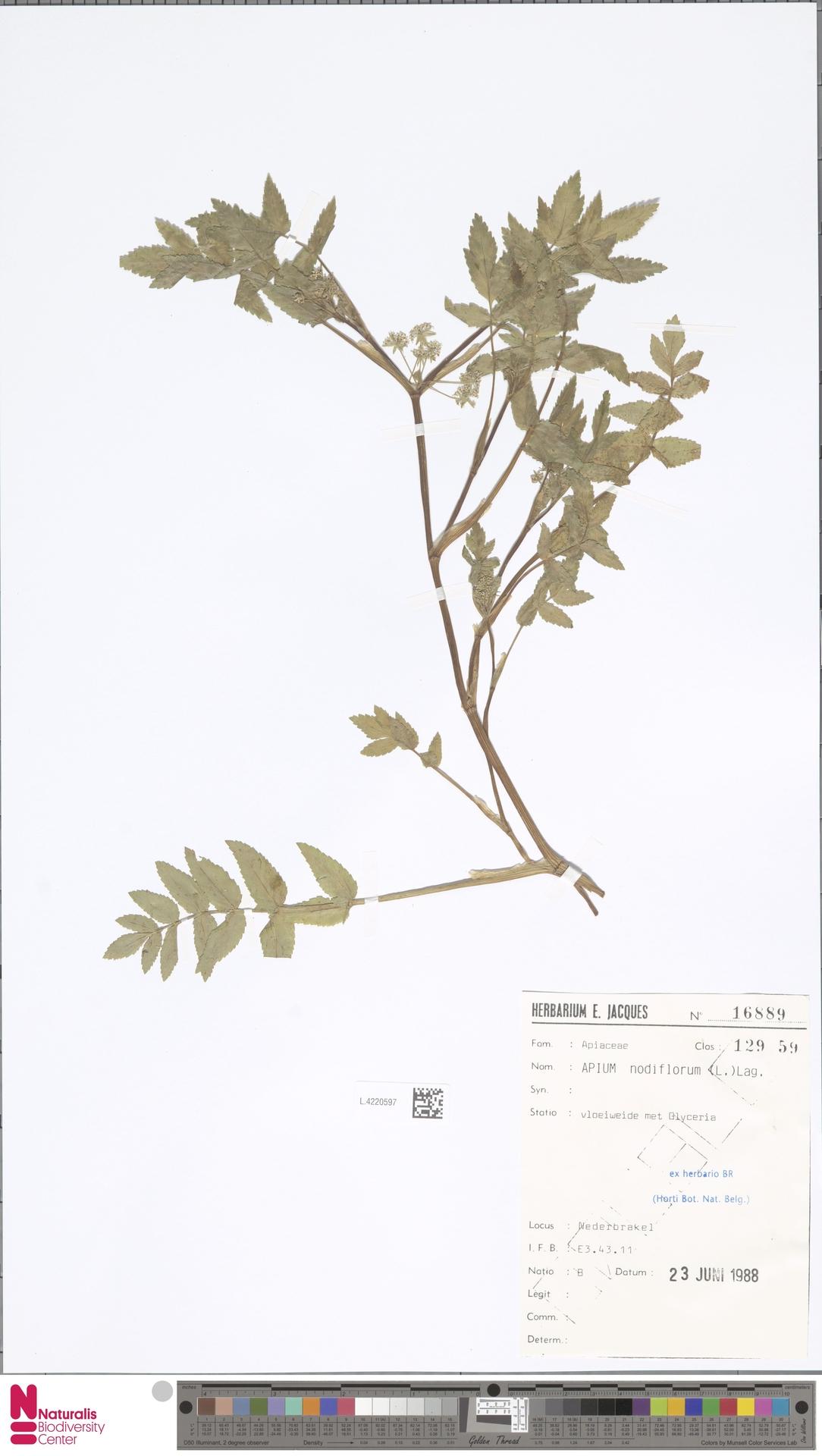 L.4220597 | Apium nodiflorum (L.) Lag.