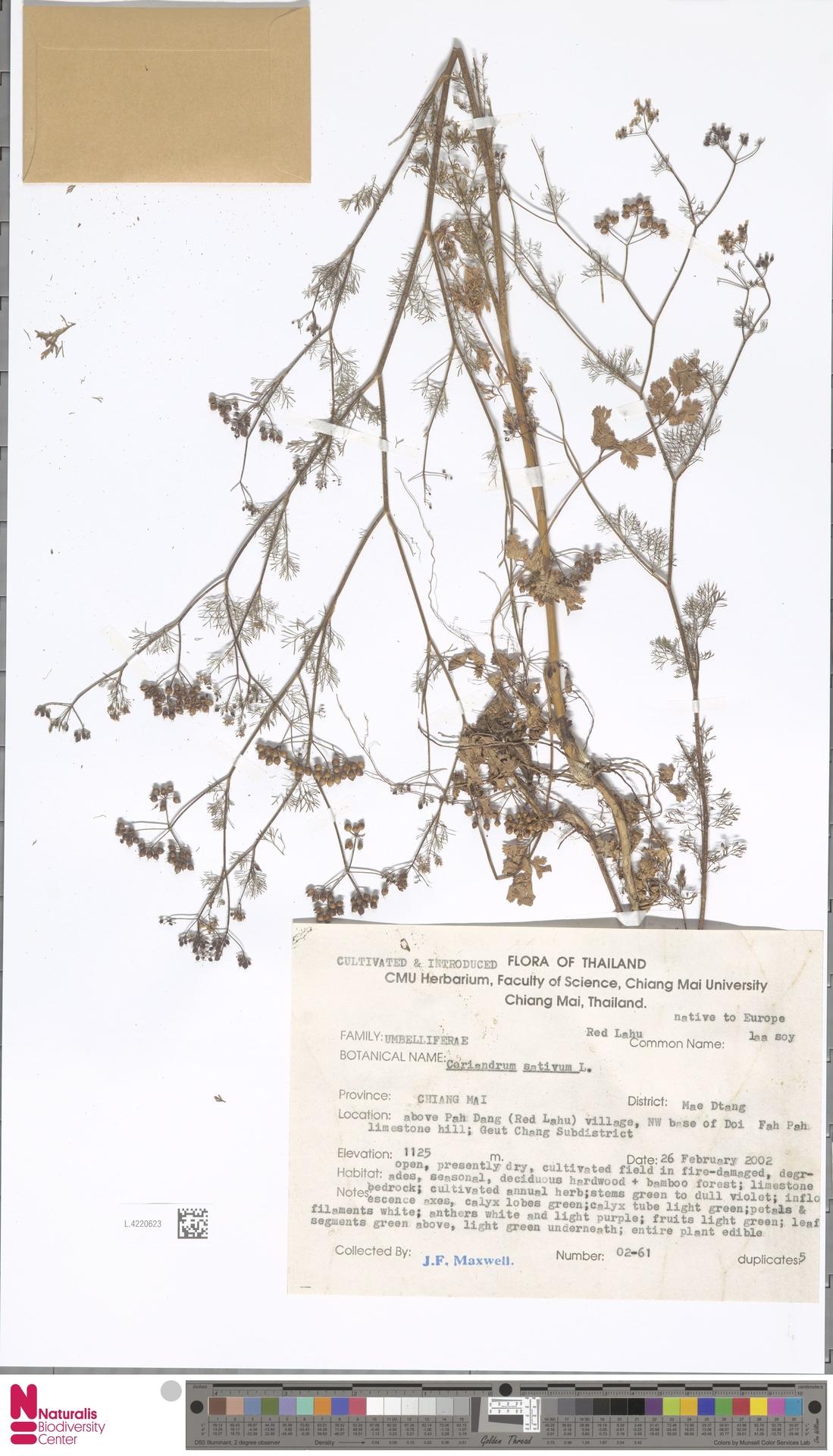 L.4220623 | Coriandrum sativum L.