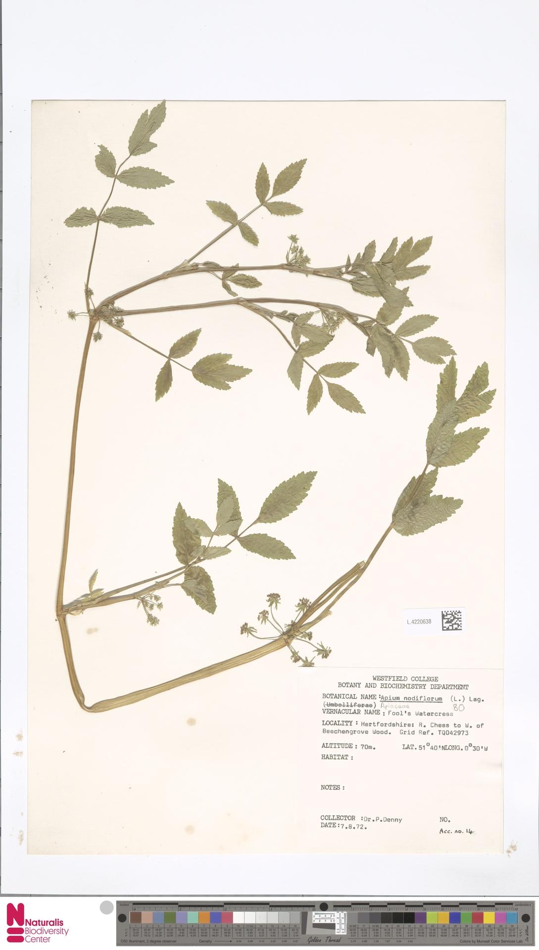 L.4220638   Apium nodiflorum (L.) Lag.